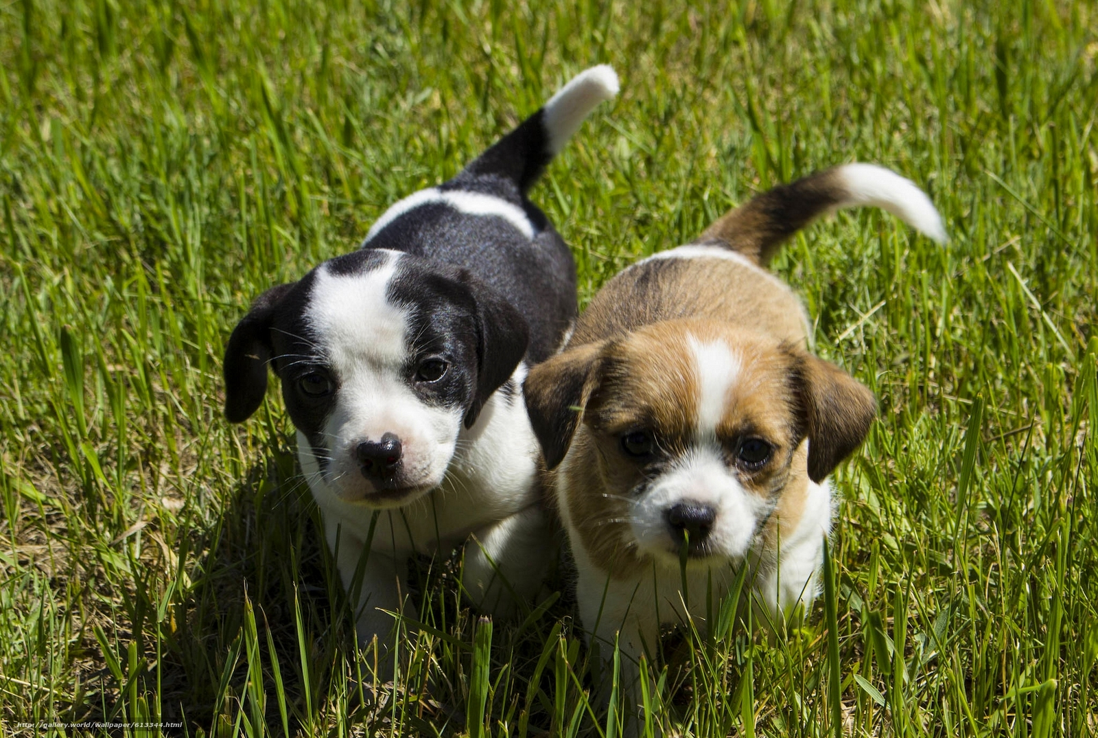 Скачать обои собаки,  щенки,  малыши,  мордашки бесплатно для рабочего стола в разрешении 1920x1290 — картинка №613344