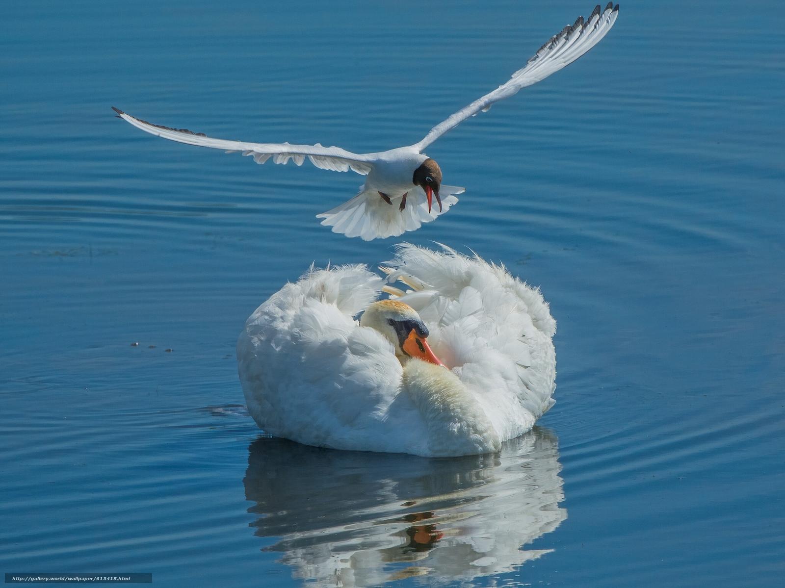 Скачать обои лебедь,  чайка,  птицы,  вода бесплатно для рабочего стола в разрешении 2048x1535 — картинка №613415
