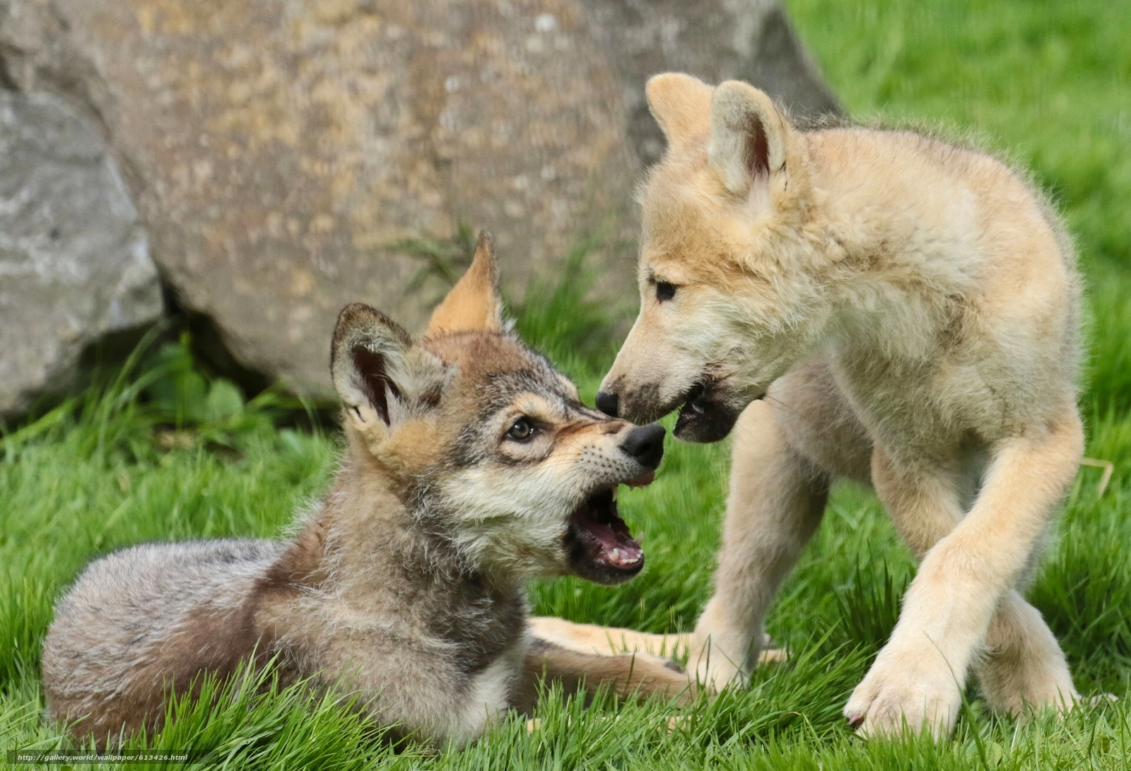 Download wallpaper Wolves,  cubs,  Puppies free desktop wallpaper in the resolution 1920x1309 — picture №613426