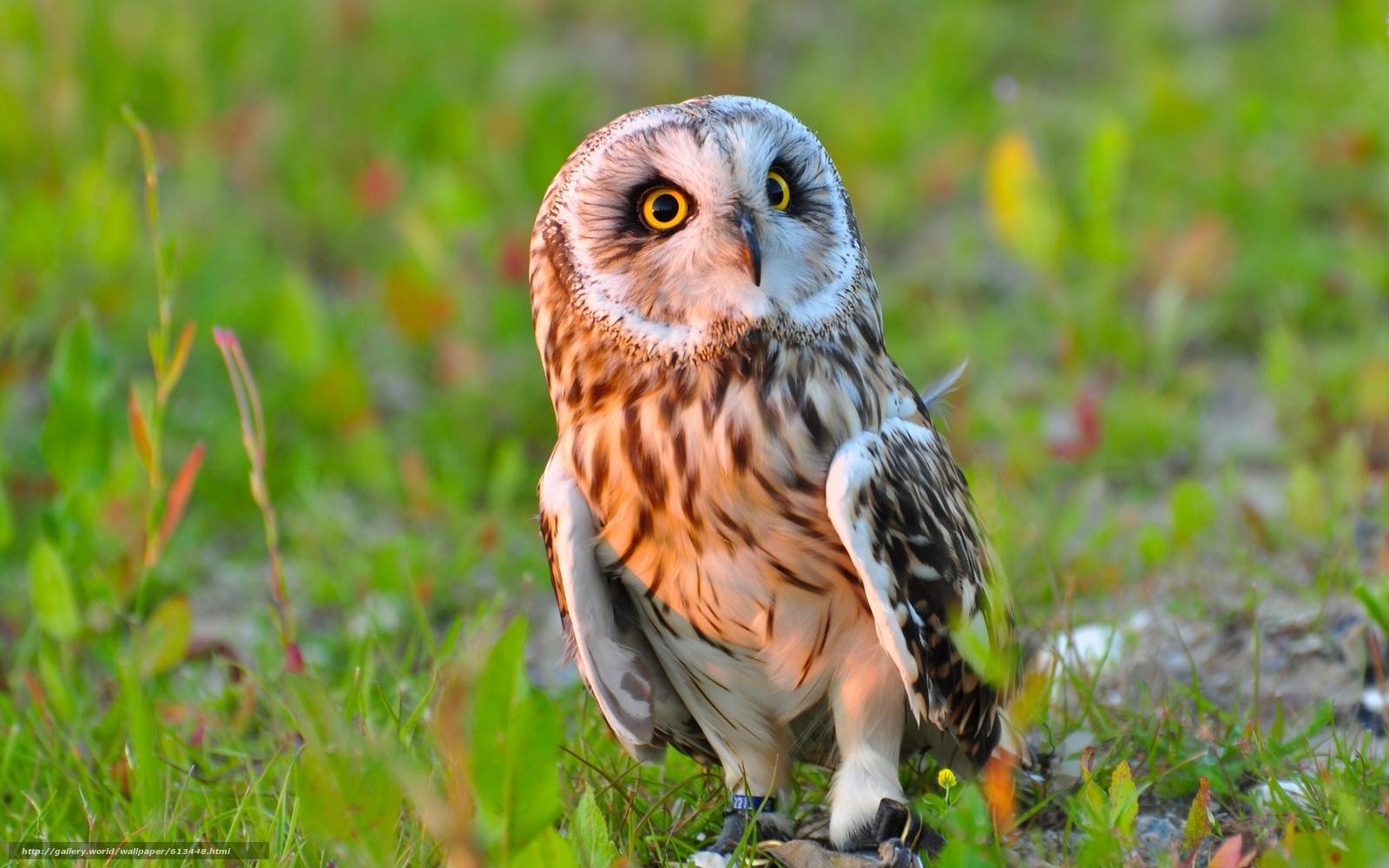 Tlcharger fond d 39 ecran hibou des marais chouette oiseau for Fond ecran animaux hd