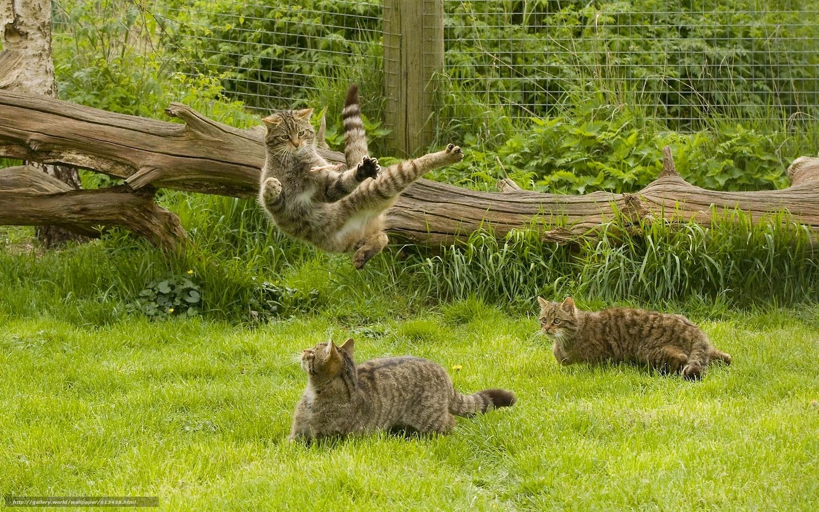 Download wallpaper wildcat,  wildcat,  cats,  cat free desktop wallpaper in the resolution 1920x1200 — picture №613458