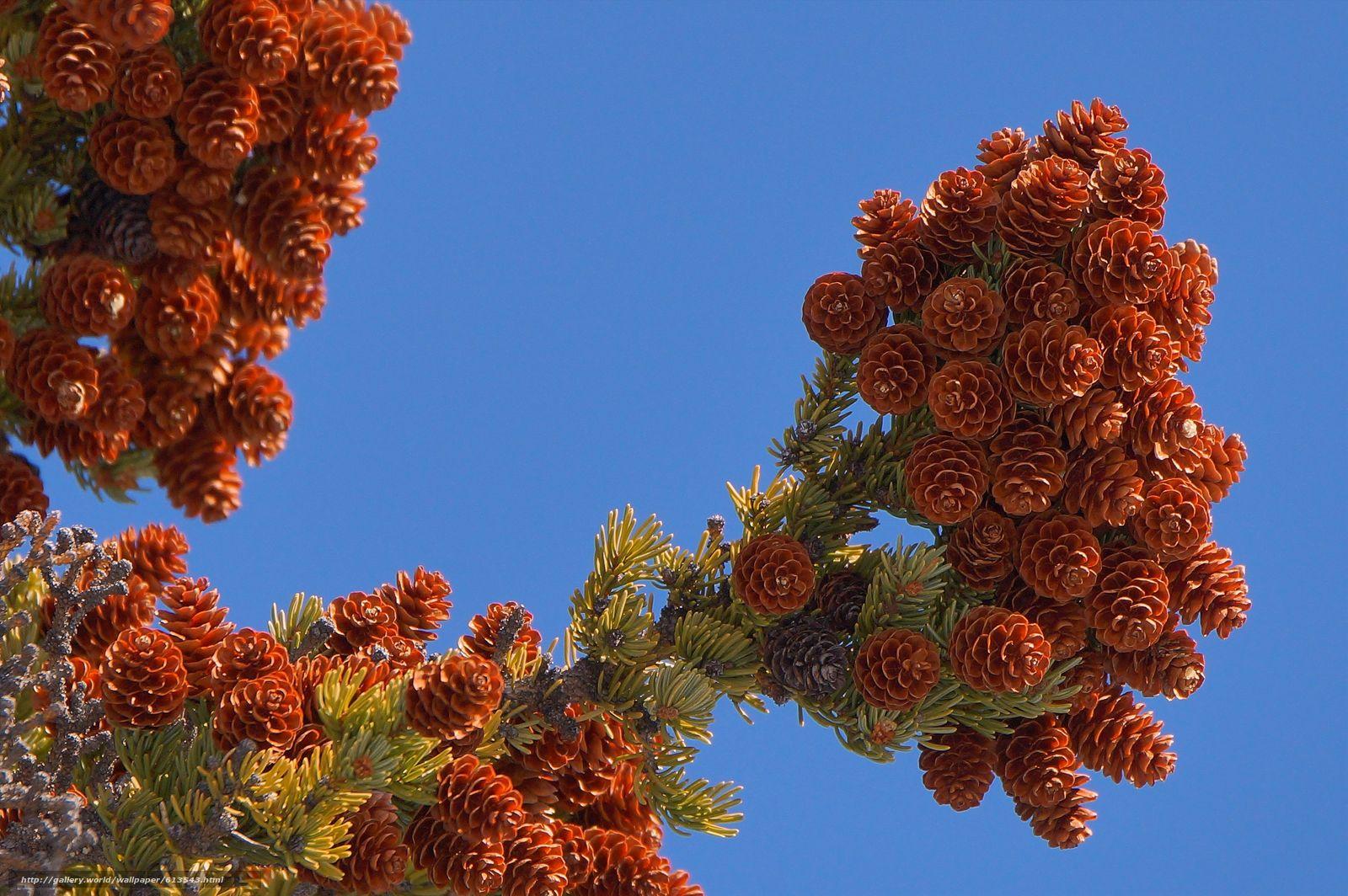 Download wallpaper branch,  Cones,  needles free desktop wallpaper in the resolution 3008x2000 — picture №613543