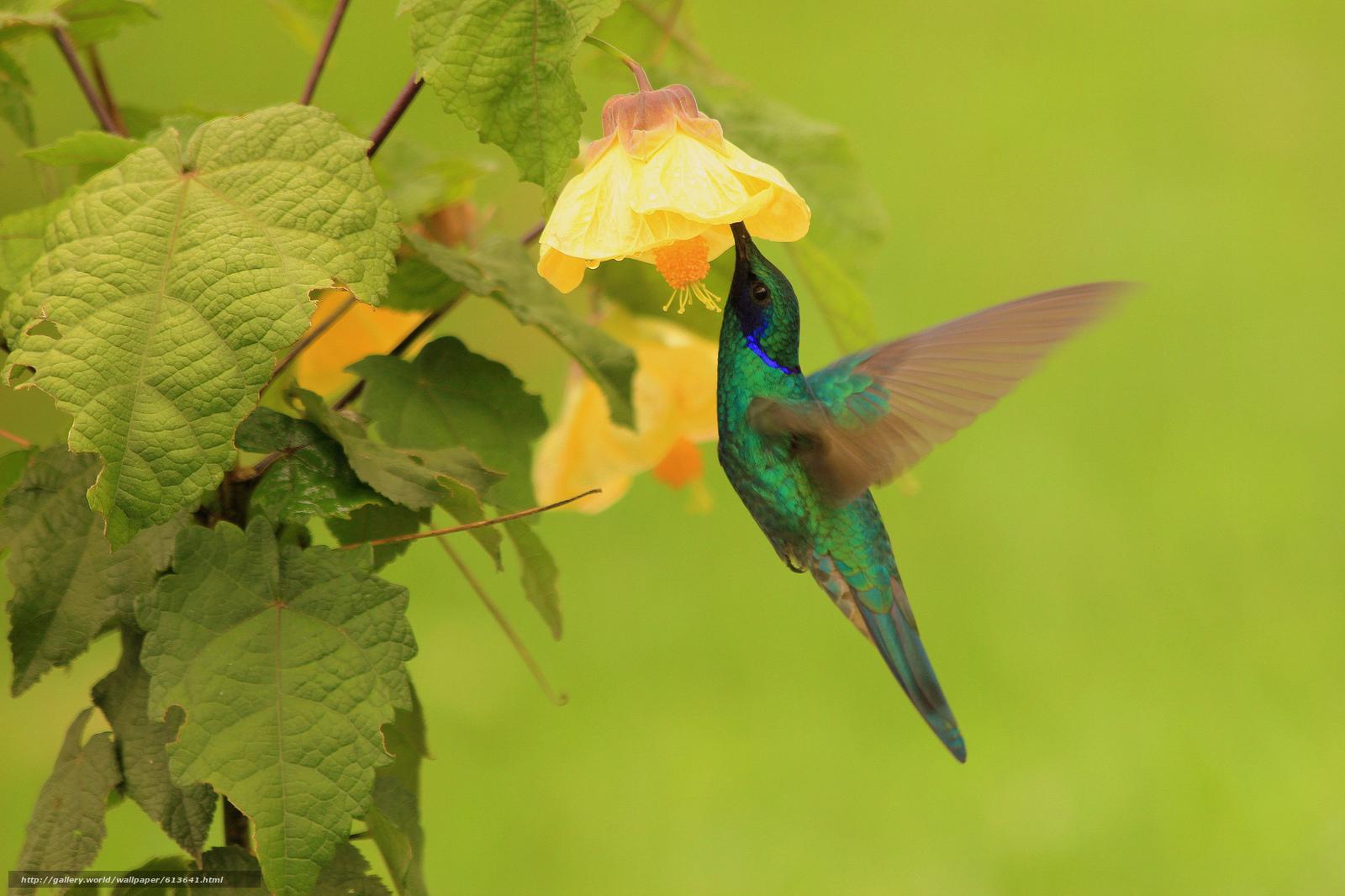 Скачать обои колибри,  птица,  цветок,  листья бесплатно для рабочего стола в разрешении 2048x1365 — картинка №613641