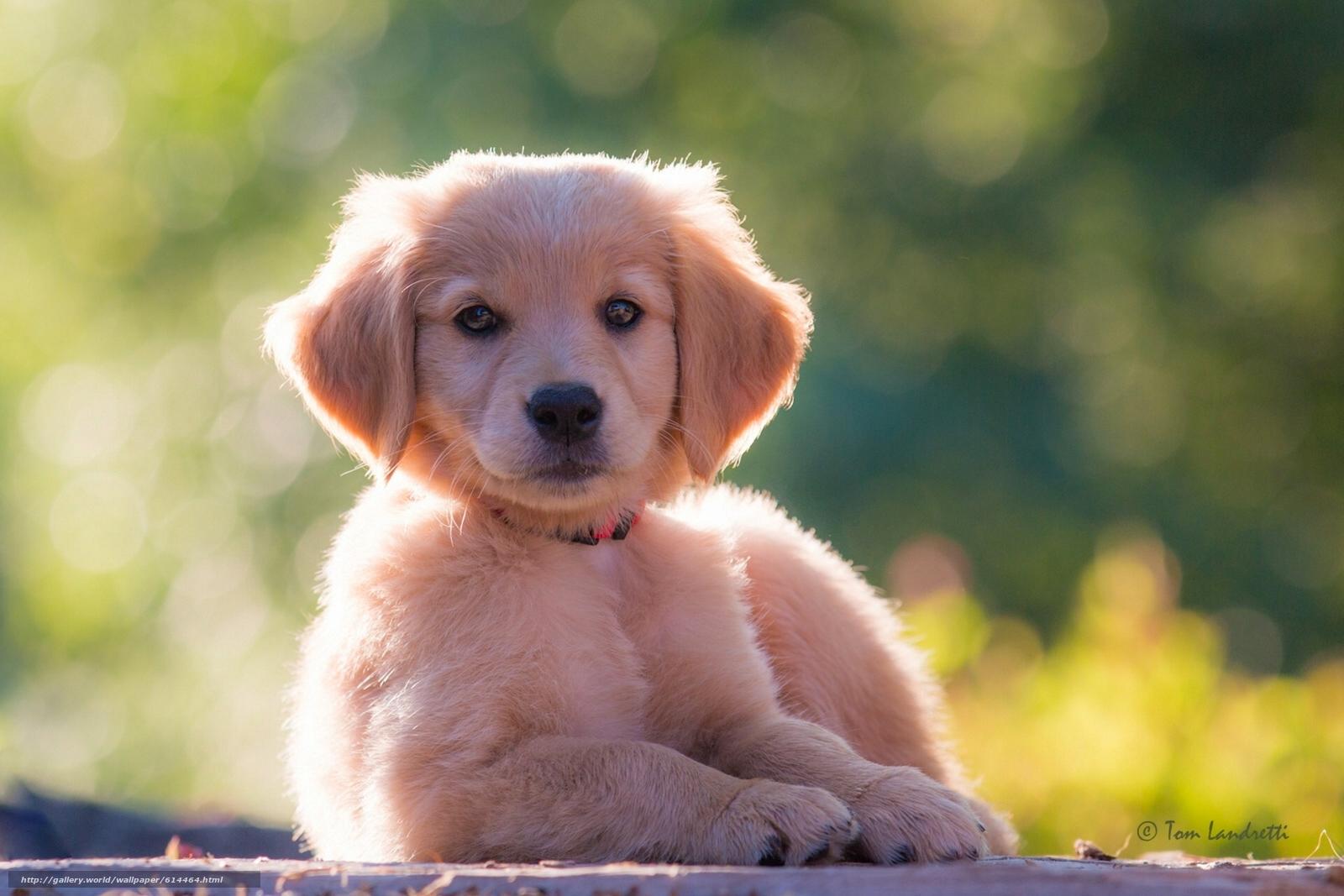 壁紙をダウンロード ゴールデンレトリバー, ゴールデンレトリバー, 犬, 子犬 デスクトップの解像度のための無料壁紙 ...