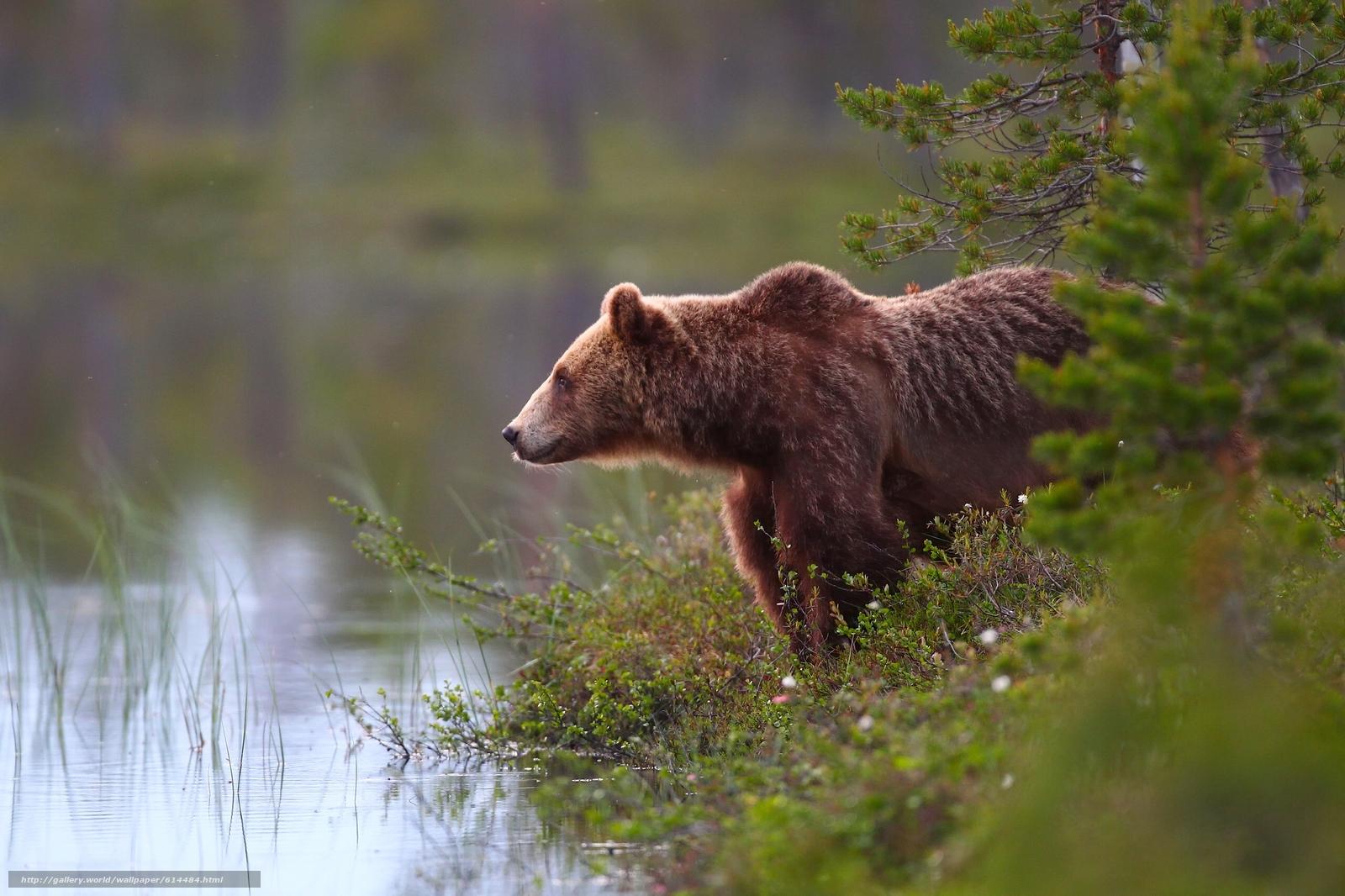 Download wallpaper bear,  Bruin,  forest,  water free desktop wallpaper in the resolution 2560x1706 — picture №614484