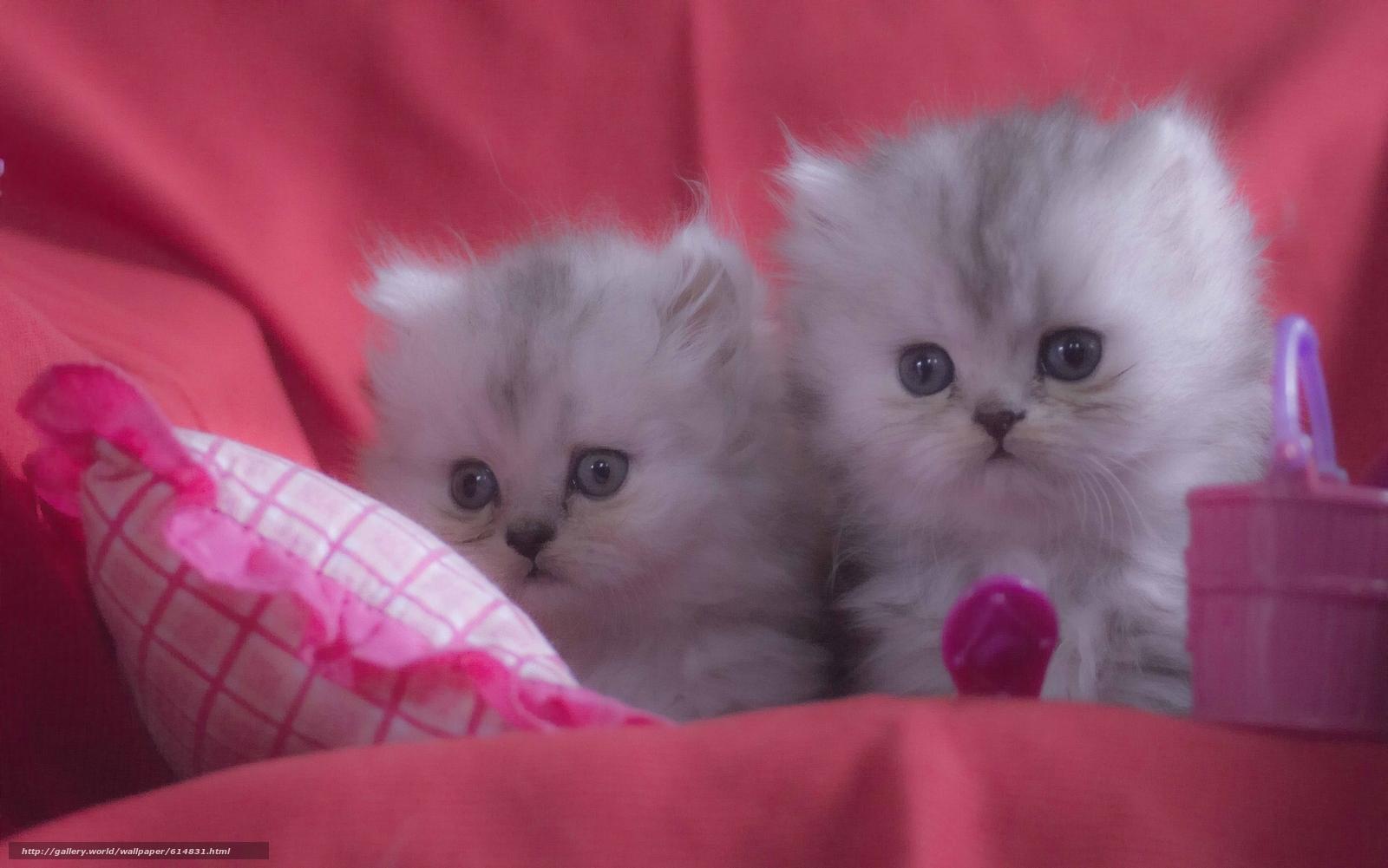 Tlcharger fond d 39 ecran chatons persans chatons enfants for Gatti sfondi desktop gratis