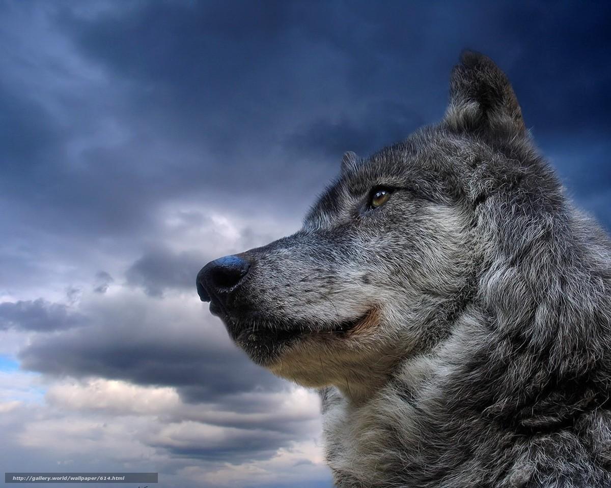 Tlcharger Fond d'ecran loup,  ciel,  animal Fonds d'ecran gratuits pour votre rsolution du bureau 1280x1024 — image №614