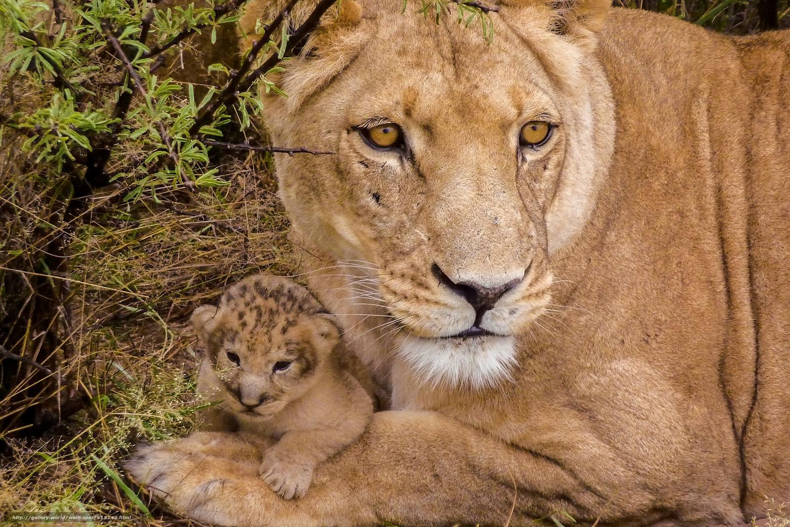 scaricare gli sfondi Lions,  leonessa,  lionet,  cub Sfondi gratis per la risoluzione del desktop 1920x1282 — immagine №615140
