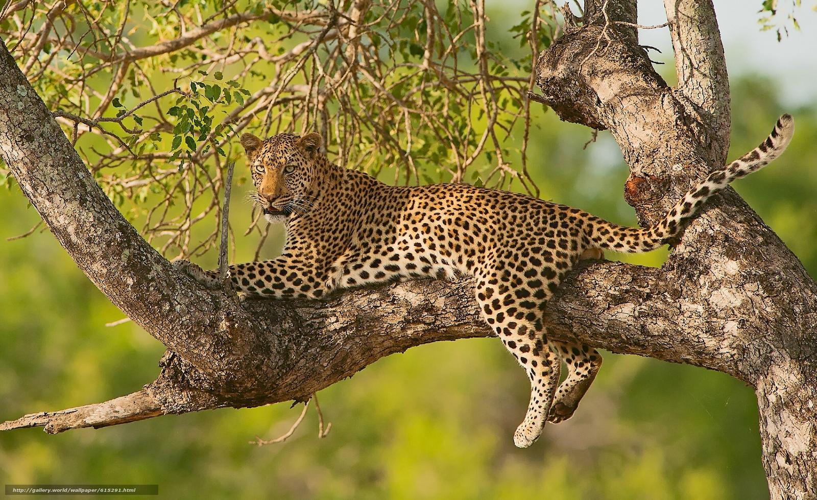 scaricare gli sfondi leopard,  gattopardo,  albero,  FILIALE Sfondi gratis per la risoluzione del desktop 2048x1253 — immagine №615291