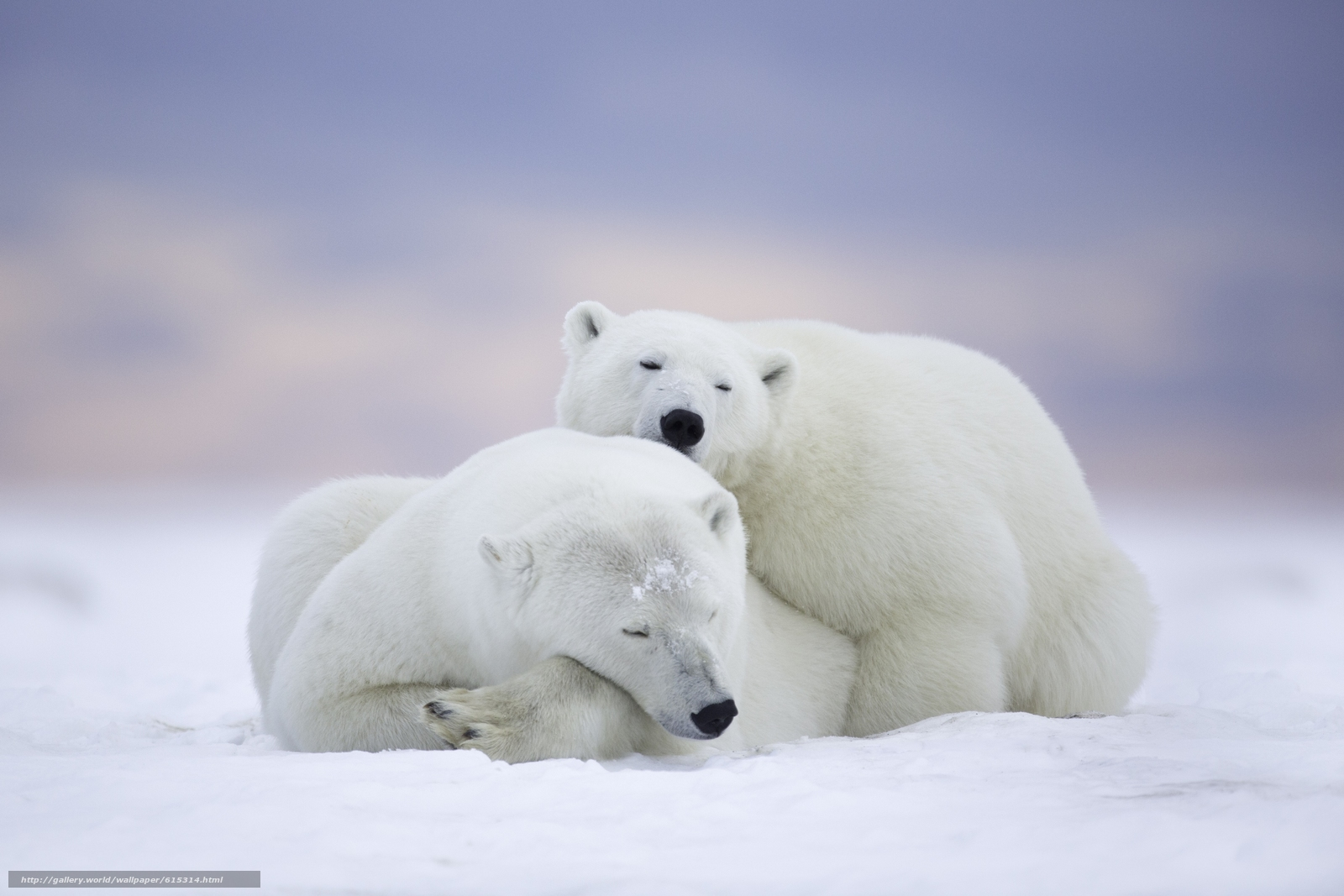 polar bear couple - photo #6