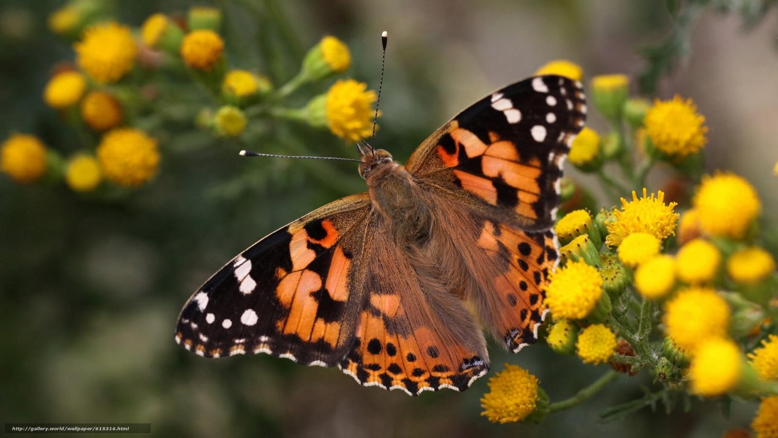 scaricare gli sfondi signora dipinta,  signora dipinta,  Vanessa chertopolohovaya,  farfalla Sfondi gratis per la risoluzione del desktop 1921x1080 — immagine №615316