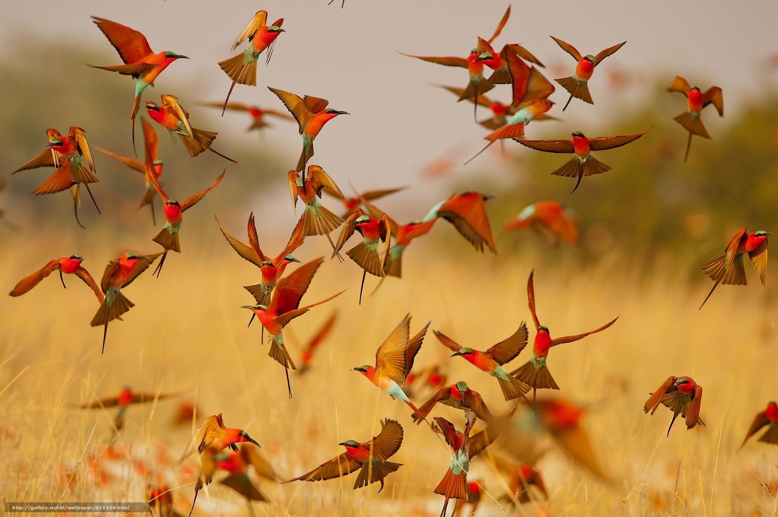 Download wallpaper Carmine Bee-eater,  bee-eater,  birds,  lot free desktop wallpaper in the resolution 2560x1703 — picture №615324