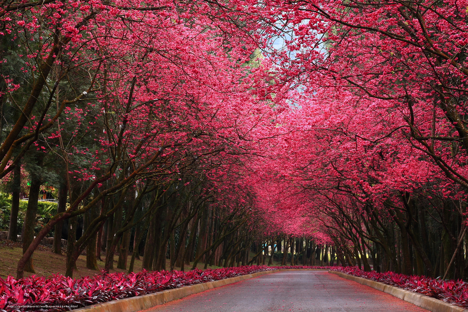 Download Wallpaper Park Road Trees Sakura Free Desktop Wallpaper