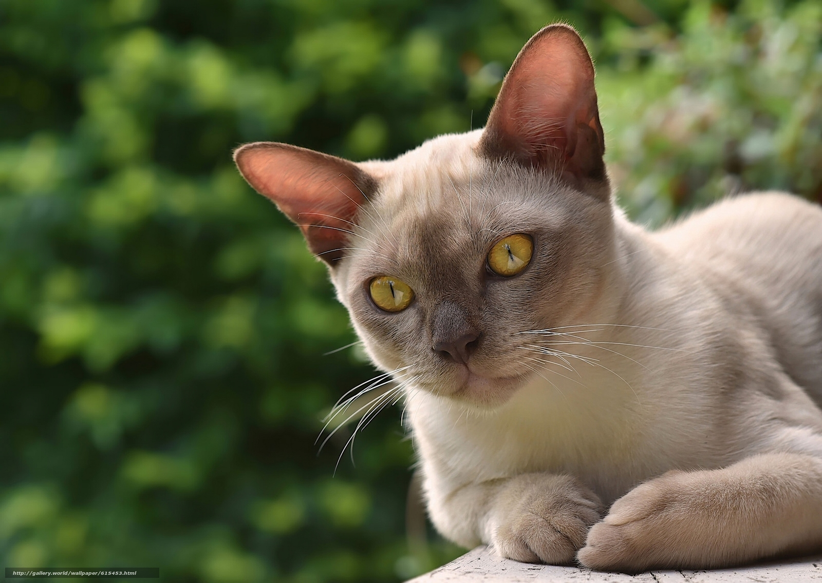 scaricare gli sfondi Gatto Burmese,  Birmano,  gatto,  museruola Sfondi gratis per la risoluzione del desktop 1920x1363 — immagine №615453