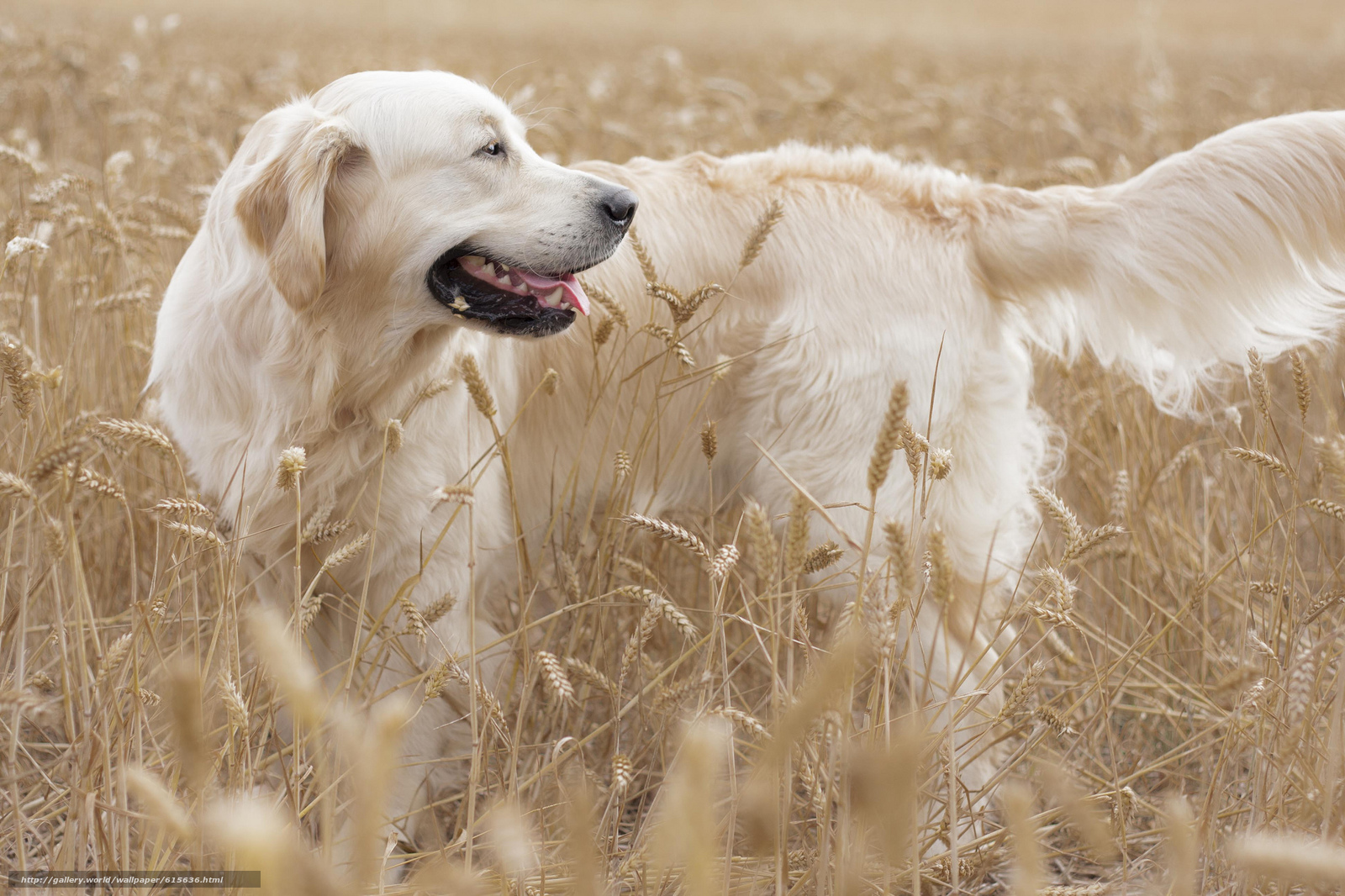 Tlcharger fond d 39 ecran golden retriever golden retriever chien domaine fonds d 39 ecran gratuits - Golden retriever gratuit ...