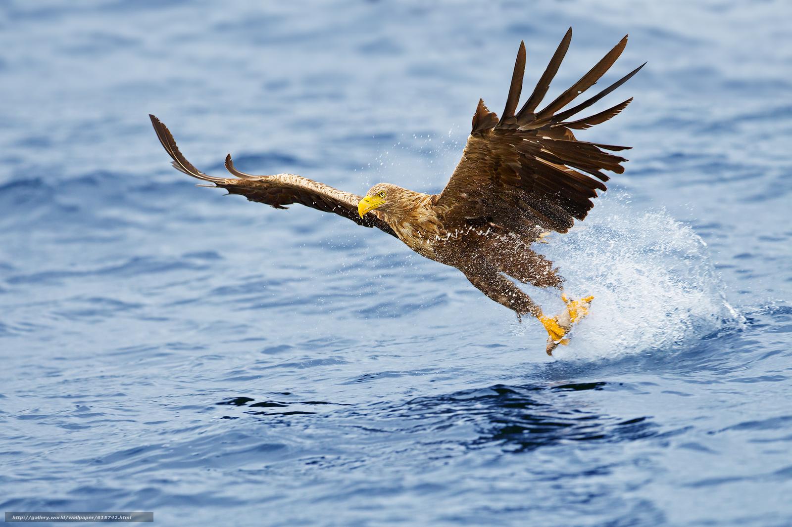 scaricare gli sfondi Sea,  aquila,  Aquila di mare Sfondi gratis per la risoluzione del desktop 2000x1333 — immagine №615742