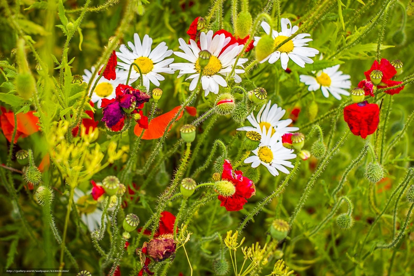 下载壁纸 黄春菊,  罂粟,  夏天 免费为您的桌面分辨率的壁纸 2560x1707 — 图片 №615939