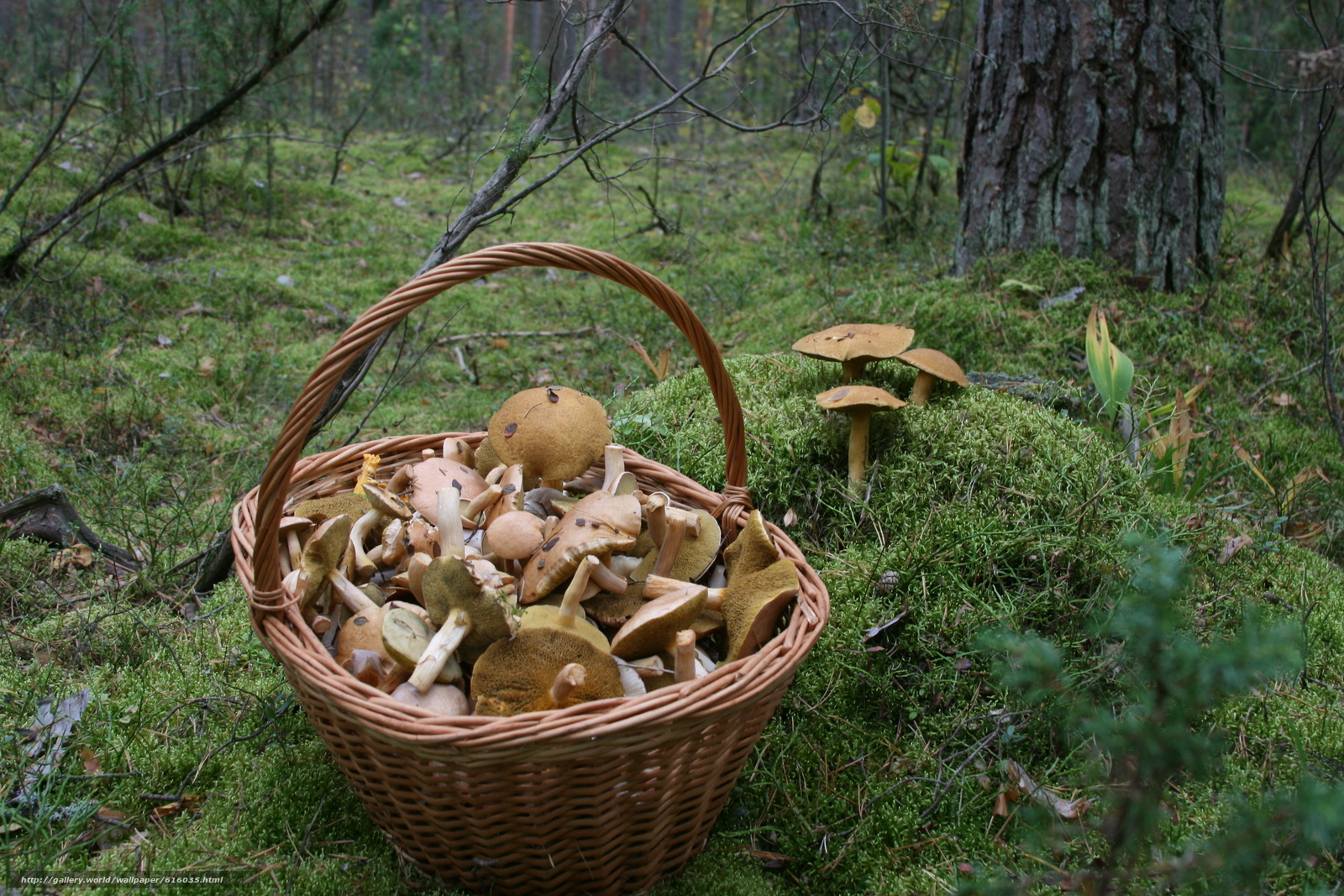 Download wallpaper mushrooms,  basket,  forest,  moss free desktop wallpaper in the resolution 3888x2592 — picture №616035