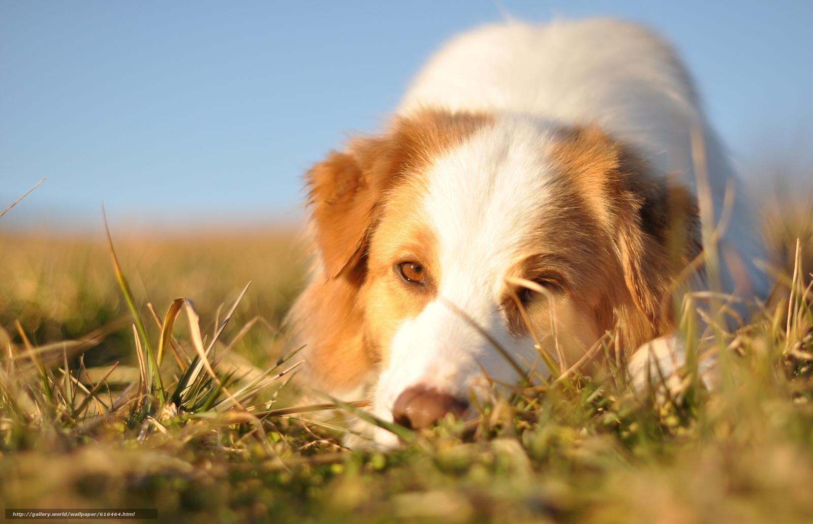 Tlcharger fond d ecran berger australien chien museau