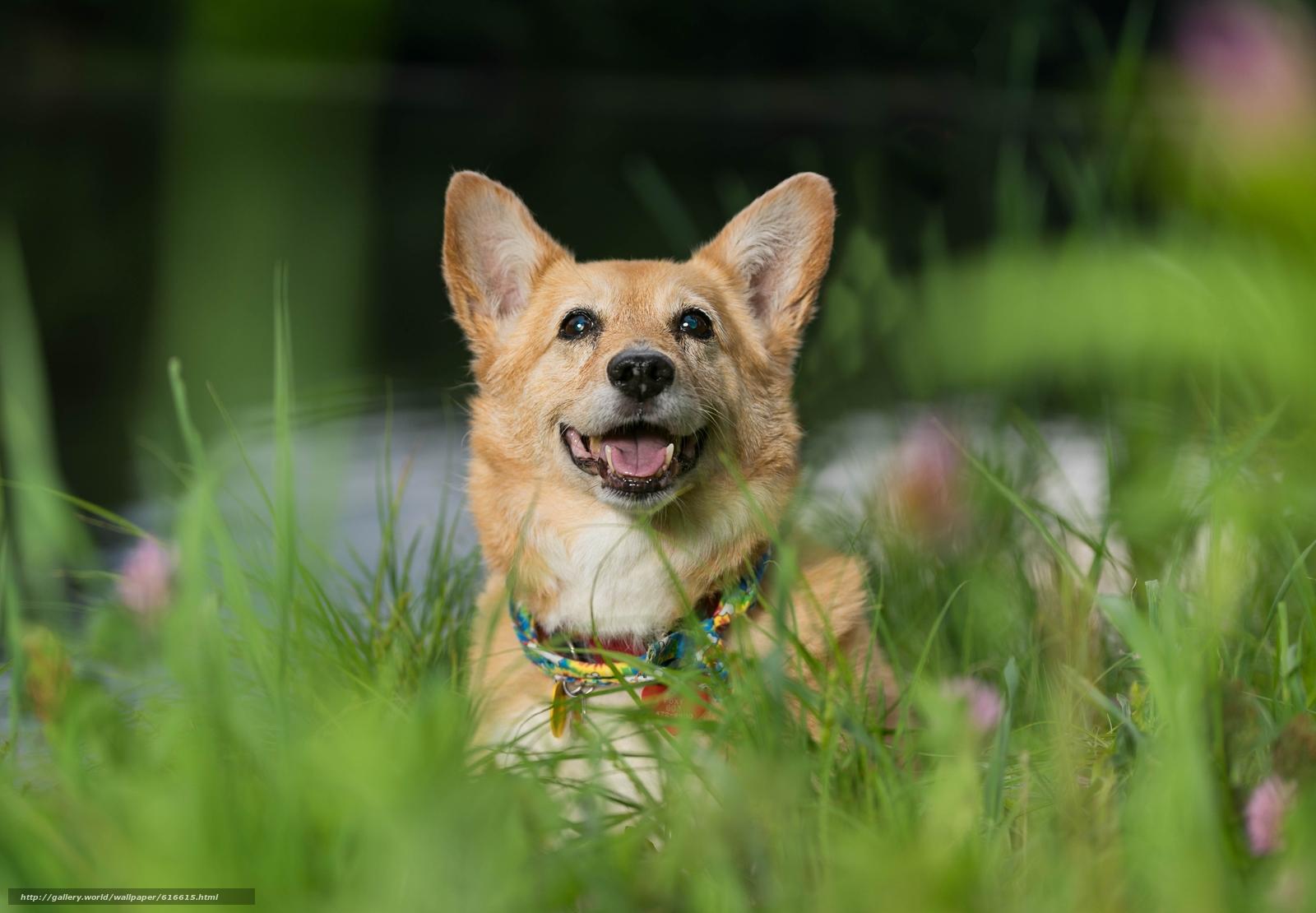 壁紙をダウンロード ウェルシュコーギー 犬 スナウト 気分 デスクトップの解像度のための無料壁紙 5458x3787 絵