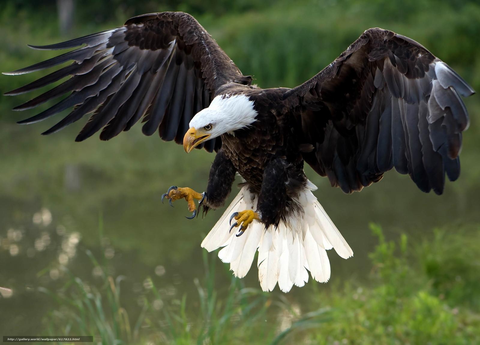 baixar wallpaper Águia falcão pássaro predador papis de parede