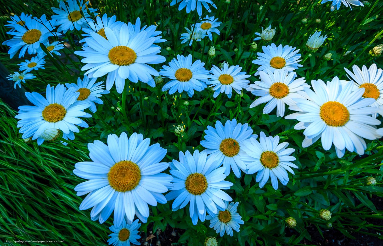 Скачать обои ромашки,  цветы,  флора бесплатно для рабочего стола в разрешении 3555x2285 — картинка №618122