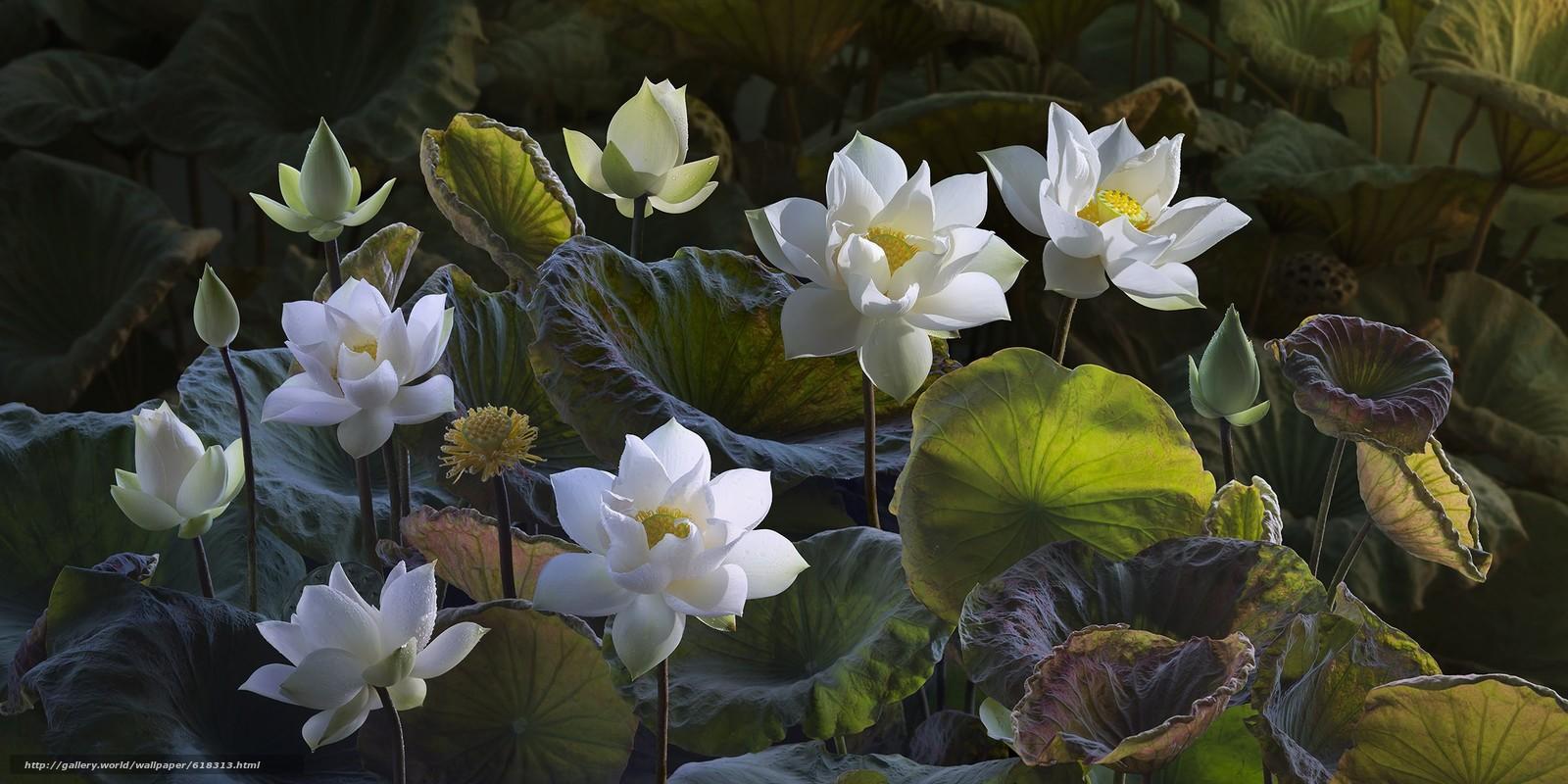 Download wallpaper Lotus,  Lotus,  Flowers,  flora free desktop wallpaper in the resolution 2400x1200 — picture №618313