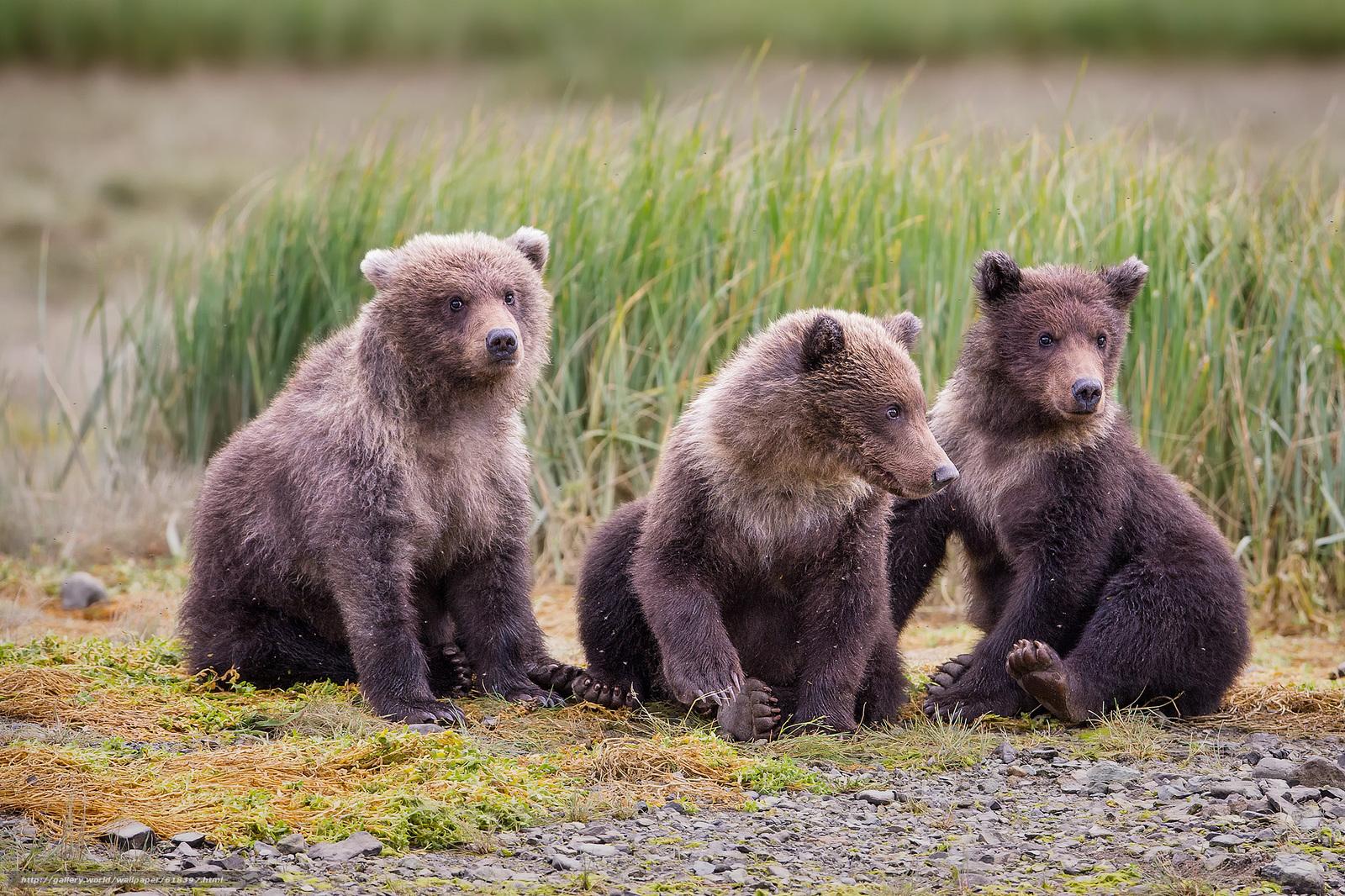 下载壁纸 卡特迈国家公园,  阿拉斯加州,  熊,  熊 免费为您的桌面分辨率的壁纸 2048x1365 — 图片 №618397