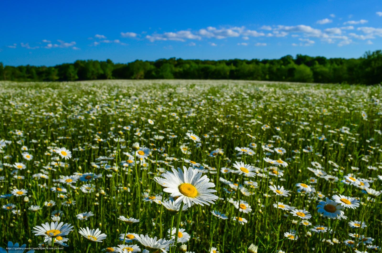 Скачать обои ромашки,  луг,  природа,  лето бесплатно для рабочего стола в разрешении 4928x3264 — картинка №618929
