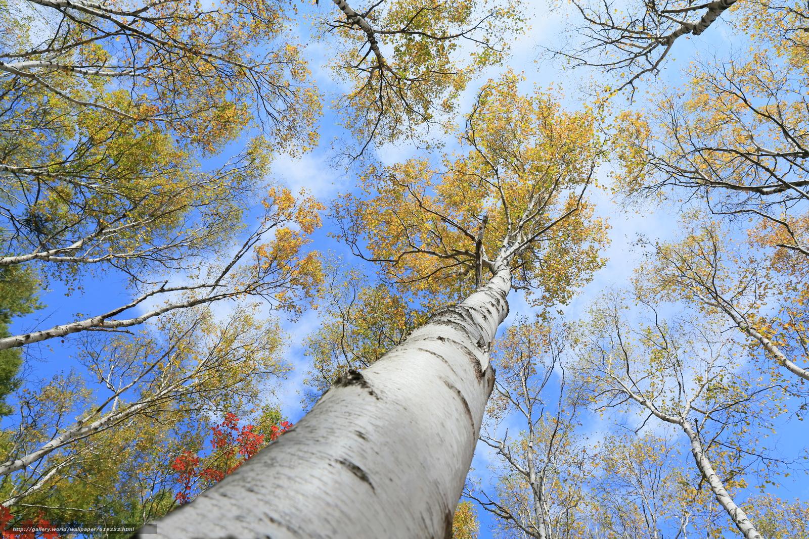 Tlcharger Fond d'ecran ciel,  arbres,  Birch,  automne Fonds d'ecran gratuits pour votre rsolution du bureau 5760x3840 — image №619252