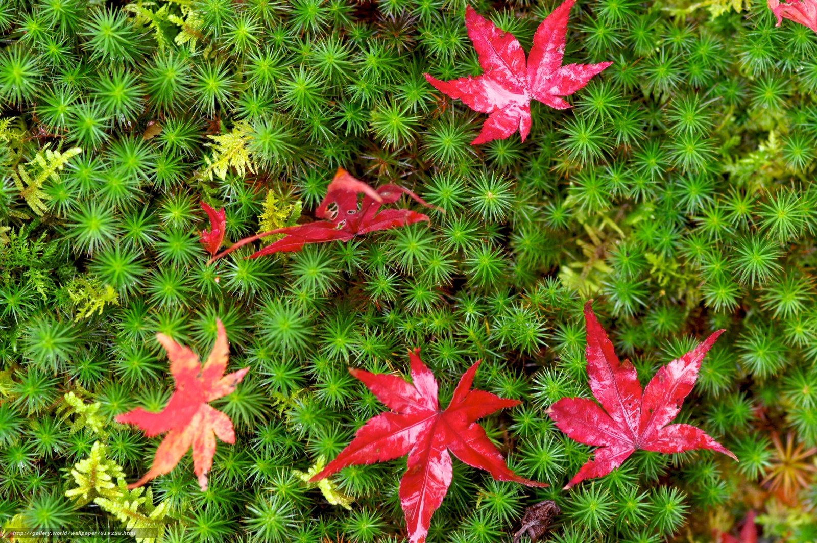 Download wallpaper moss,  foliage,  Macro free desktop wallpaper in the resolution 3008x2000 — picture №619258