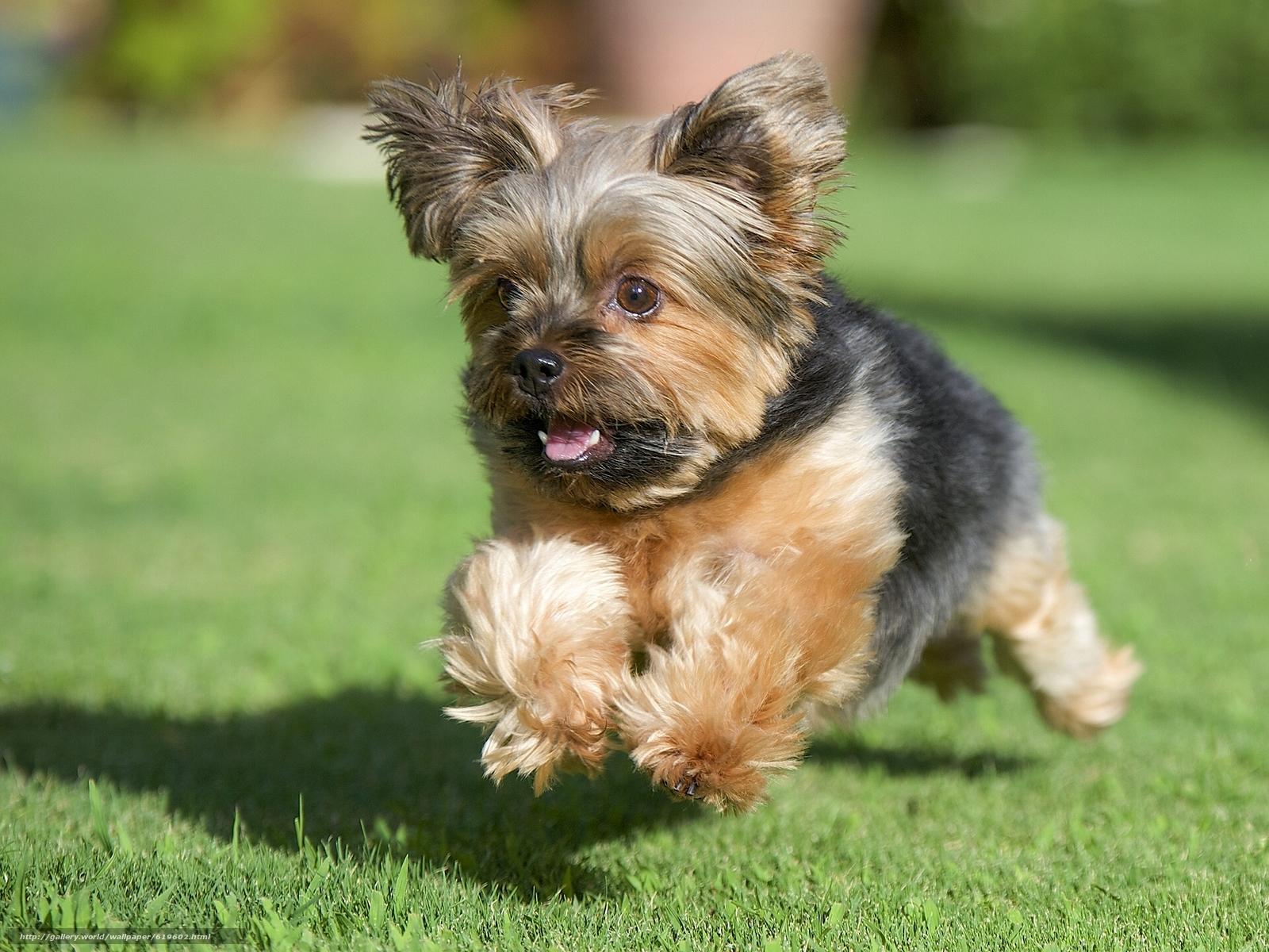 Tlcharger Fond d'ecran Yorkshire Terrier, York, chien ...