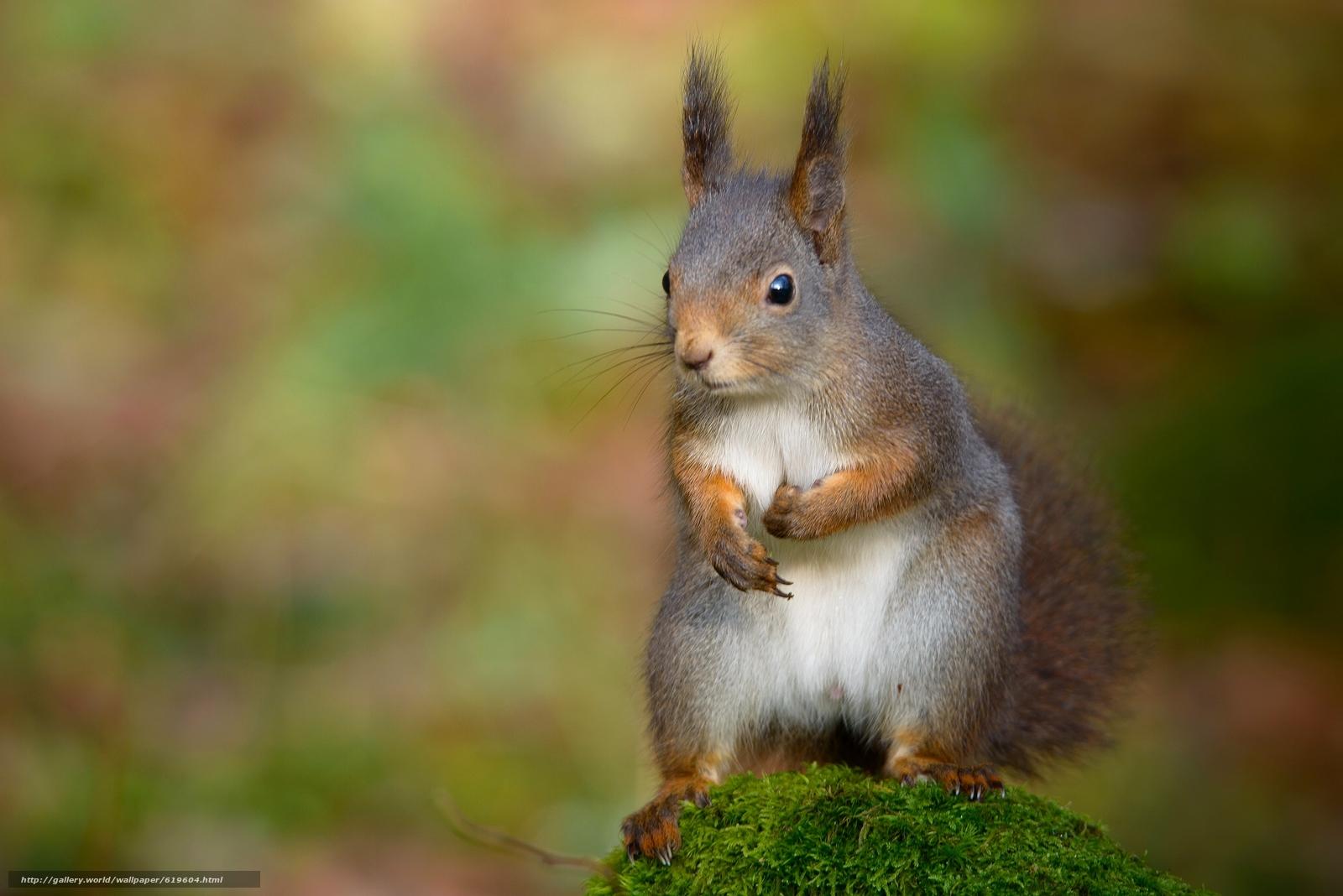 Download wallpaper squirrel,  moss,  bokeh free desktop wallpaper in the resolution 2048x1367 — picture №619604