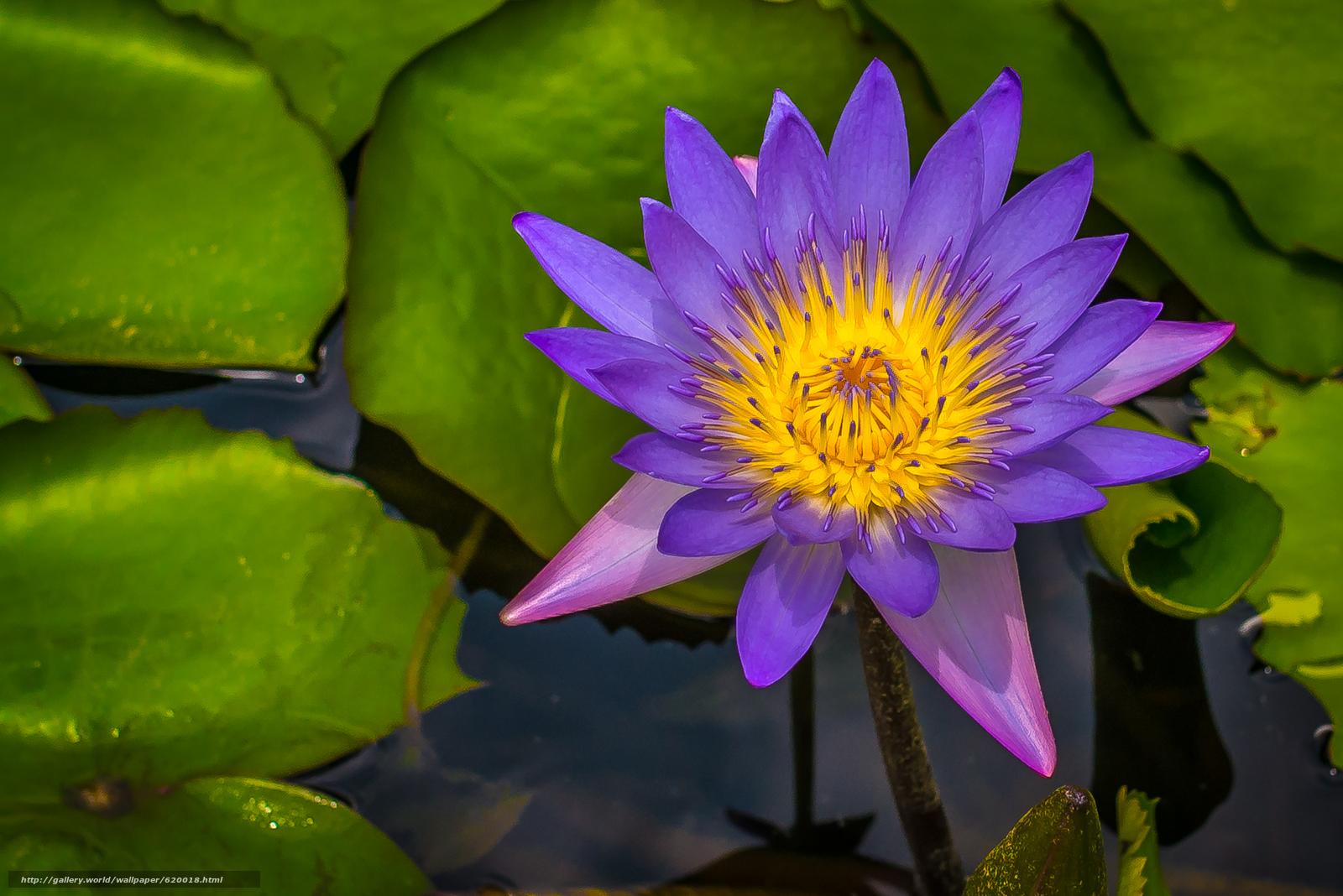 Скачать обои Water Lily,  Водяная лилия,  цветок,  флора бесплатно для рабочего стола в разрешении 4000x2670 — картинка №620018