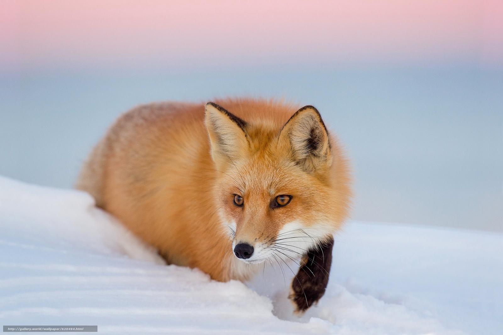 Tlcharger fond d 39 ecran fox roux neige hiver fonds d for Fond ecran hiver animaux