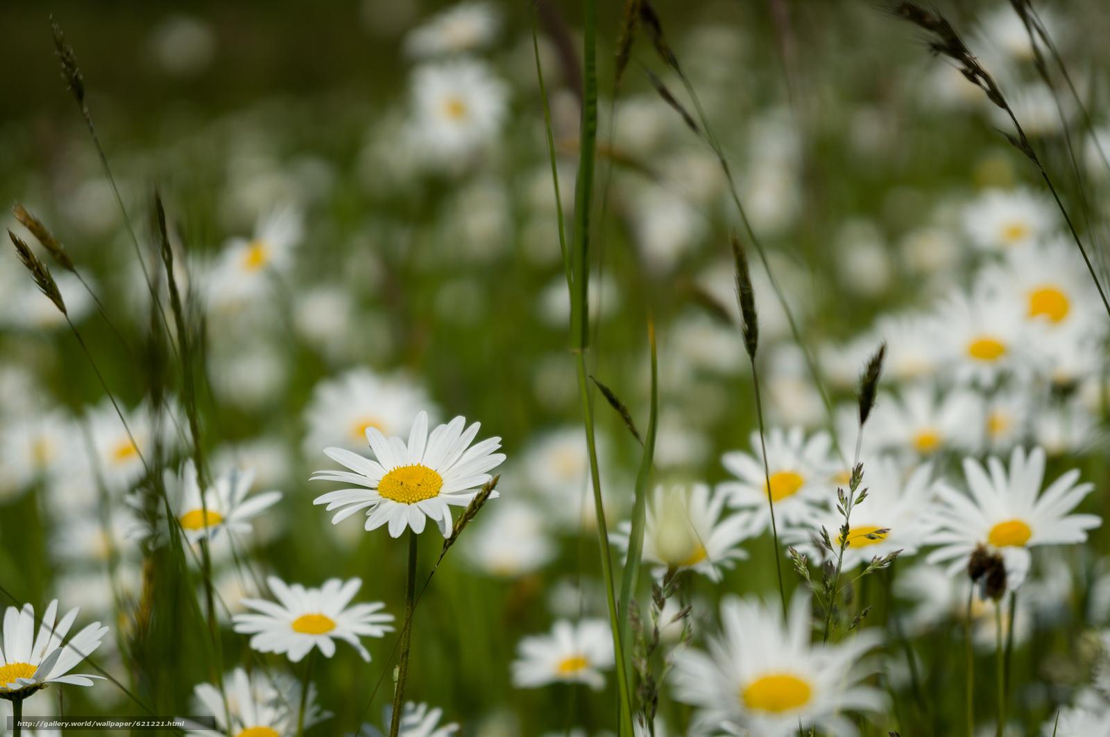 Скачать обои поле,  трава,  ромашки,  цветы бесплатно для рабочего стола в разрешении 2438x1620 — картинка №621221