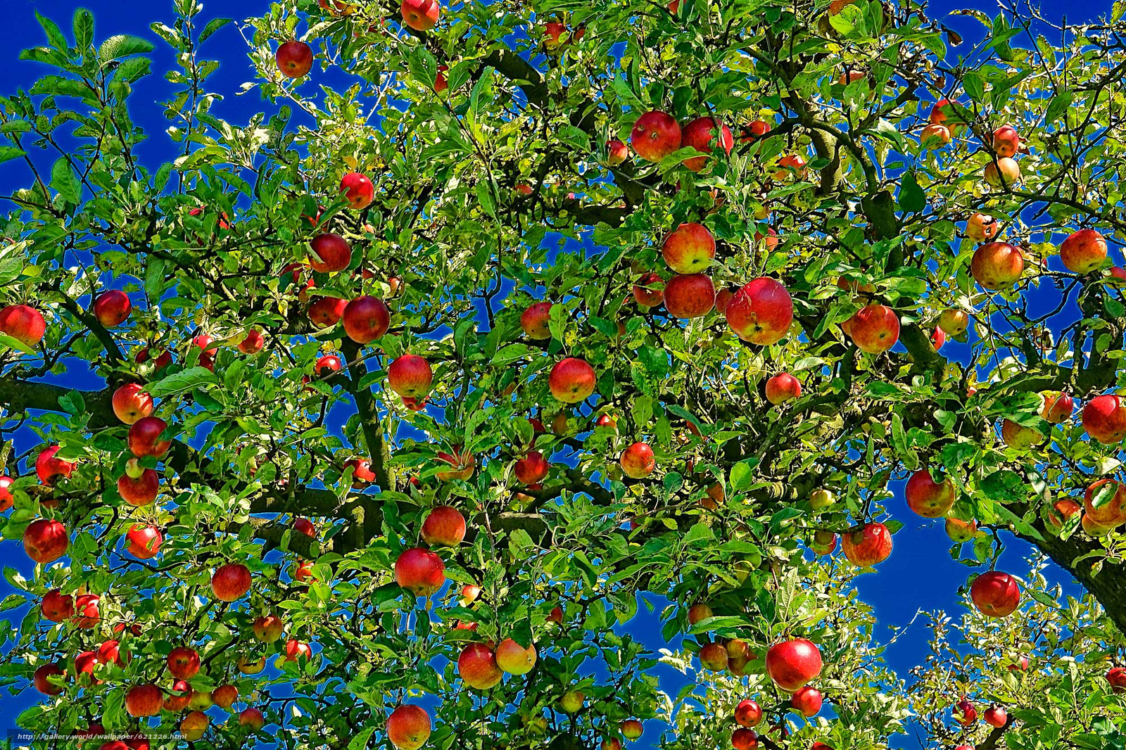 Download wallpaper apple,  apples,  branch,  foliage free desktop wallpaper in the resolution 2000x1333 — picture №621226