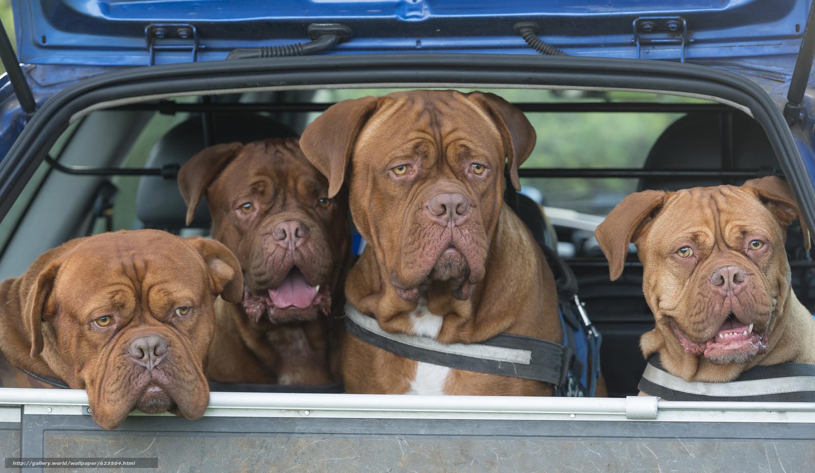 Descargar gratis Dogo de Burdeos,  Perro,  cuarteto,  máquina Fondos de escritorio en la resolucin 2048x1190 — imagen №623504