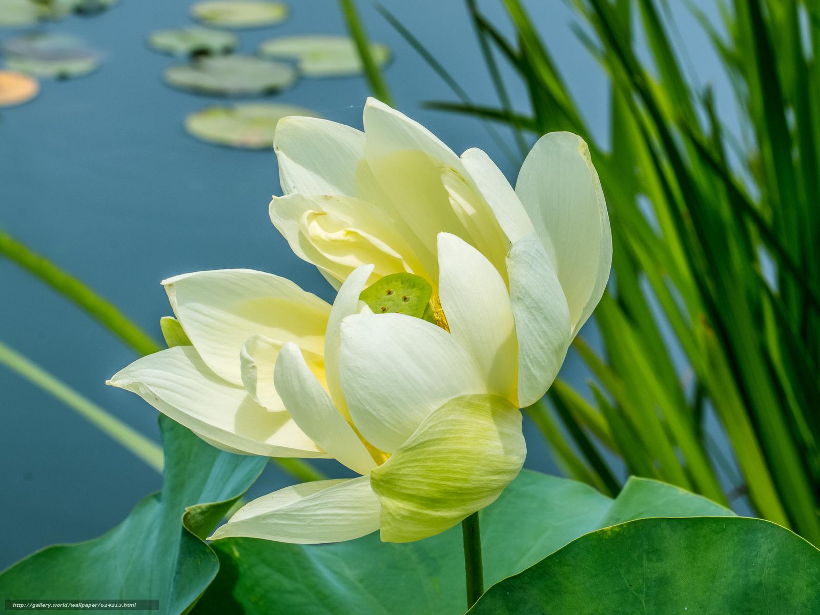 Download wallpaper lotus flower lotus flower free desktop download wallpaper lotus flower lotus flower free desktop wallpaper in the resolution 4715x3533 picture 624213 mightylinksfo