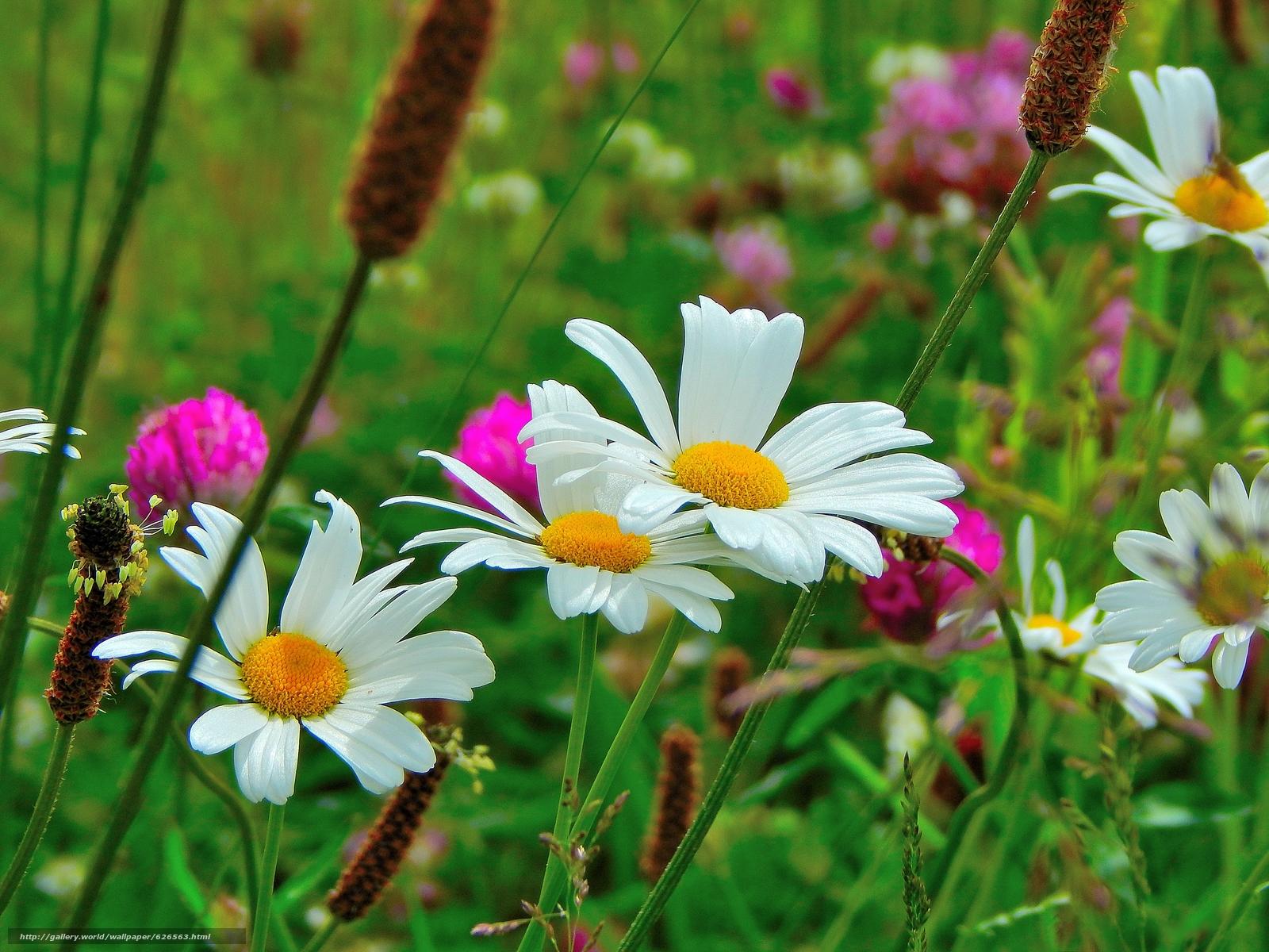 Скачать обои поле,  цветы,  ромашки,  макро бесплатно для рабочего стола в разрешении 4608x3456 — картинка №626563