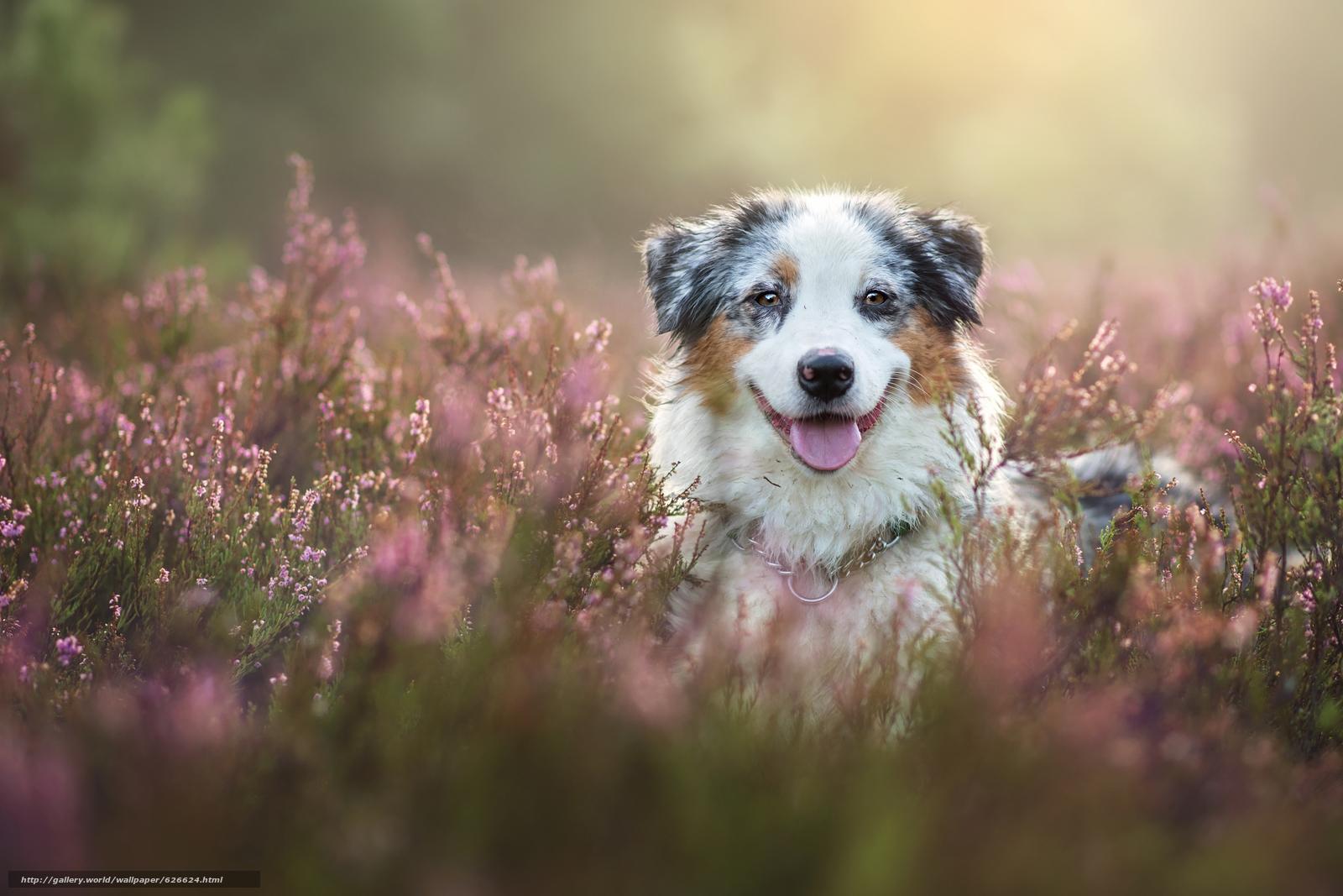 Tlcharger fond d 39 ecran berger australien australiens for Fond ecran animaux hd