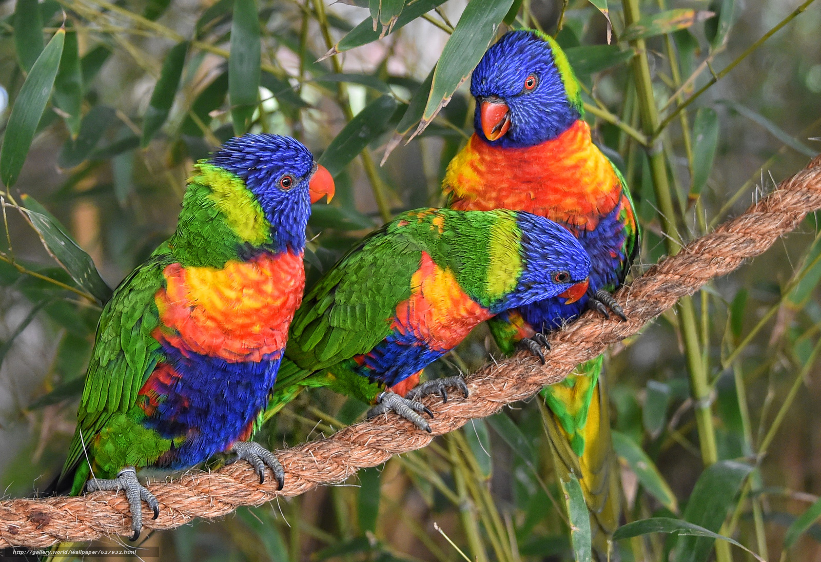 Download wallpaper Multi Lorikeet,  Lorikeet,  Parrots,  birds free desktop wallpaper in the resolution 2797x1914 — picture №627932
