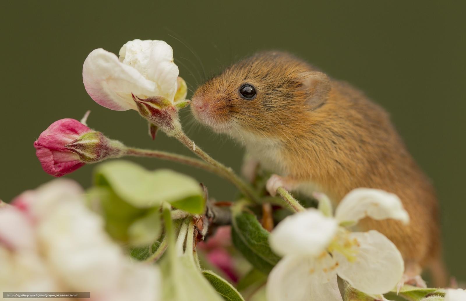 scaricare gli sfondi Harvest mouse,  Micromys Minutus,  topo,  fiore Sfondi gratis per la risoluzione del desktop 2048x1325 — immagine №628090