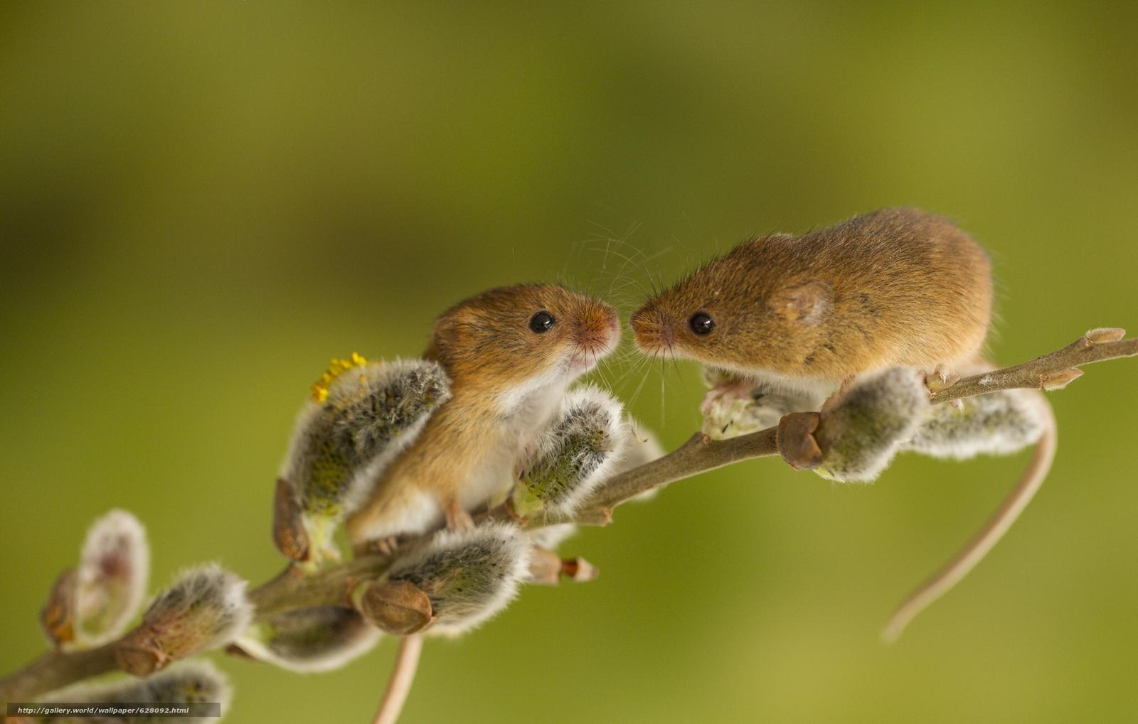 Descargar gratis Ratón de cosecha,  Micromys minutus,  ratón,  pareja Fondos de escritorio en la resolucin 2048x1304 — imagen №628092
