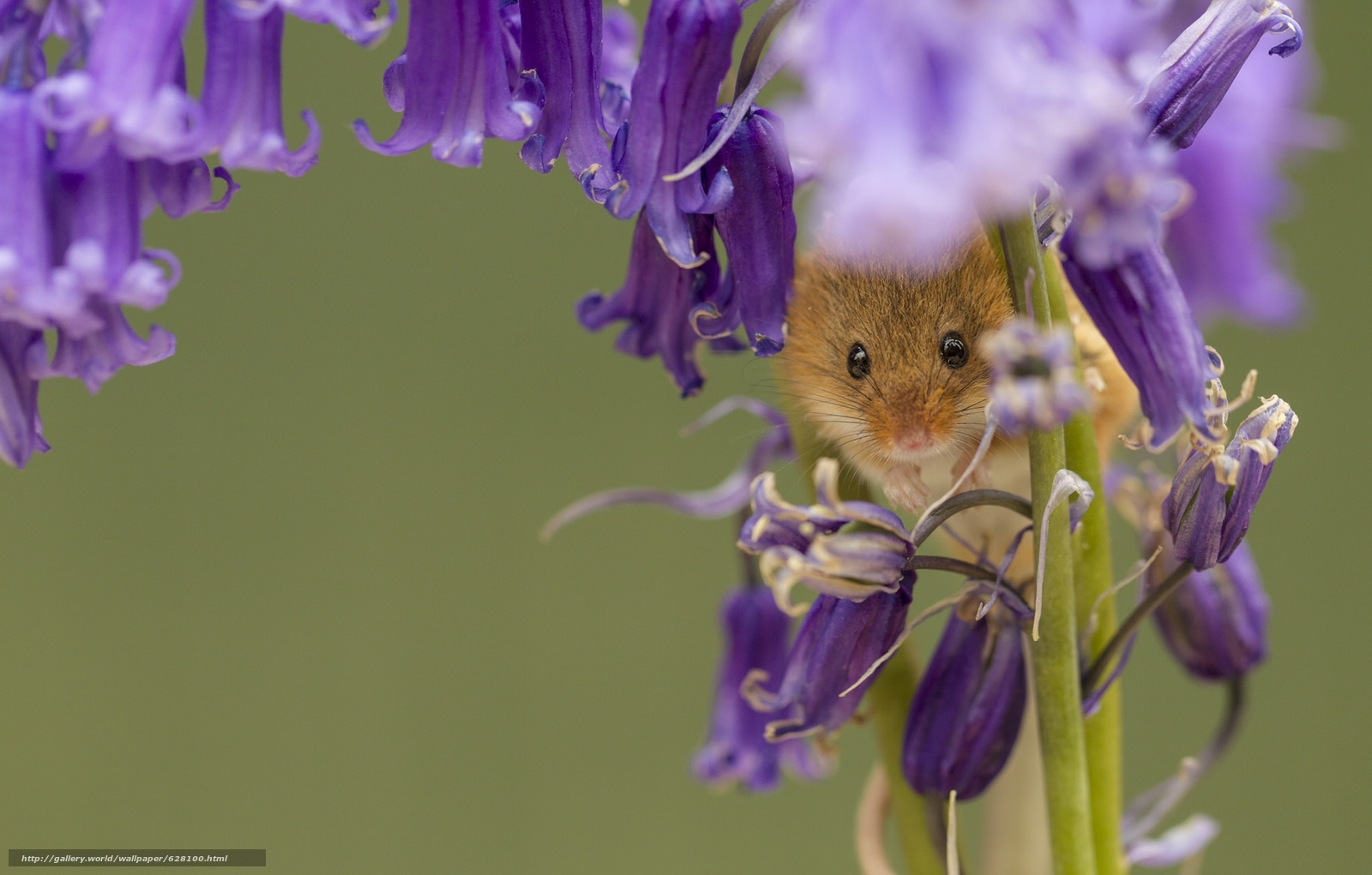 Download wallpaper Harvest Mouse,  Eurasian harvest mouse,  mouse,  Bells free desktop wallpaper in the resolution 2048x1307 — picture №628100