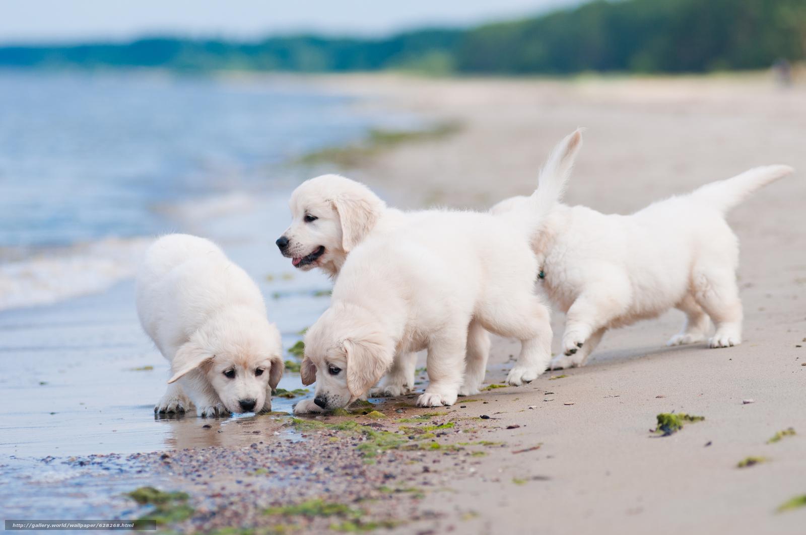 Обои на рабочий стол белые собаки
