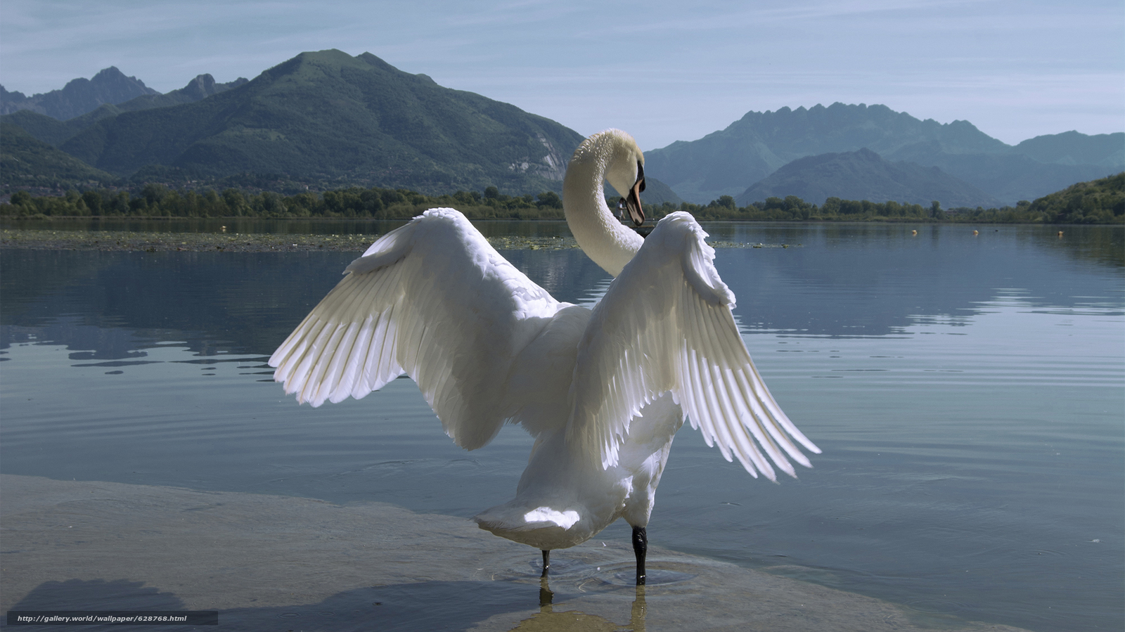 Download wallpaper swan,  bird,  wings,  lake free desktop wallpaper in the resolution 2000x1124 — picture №628768