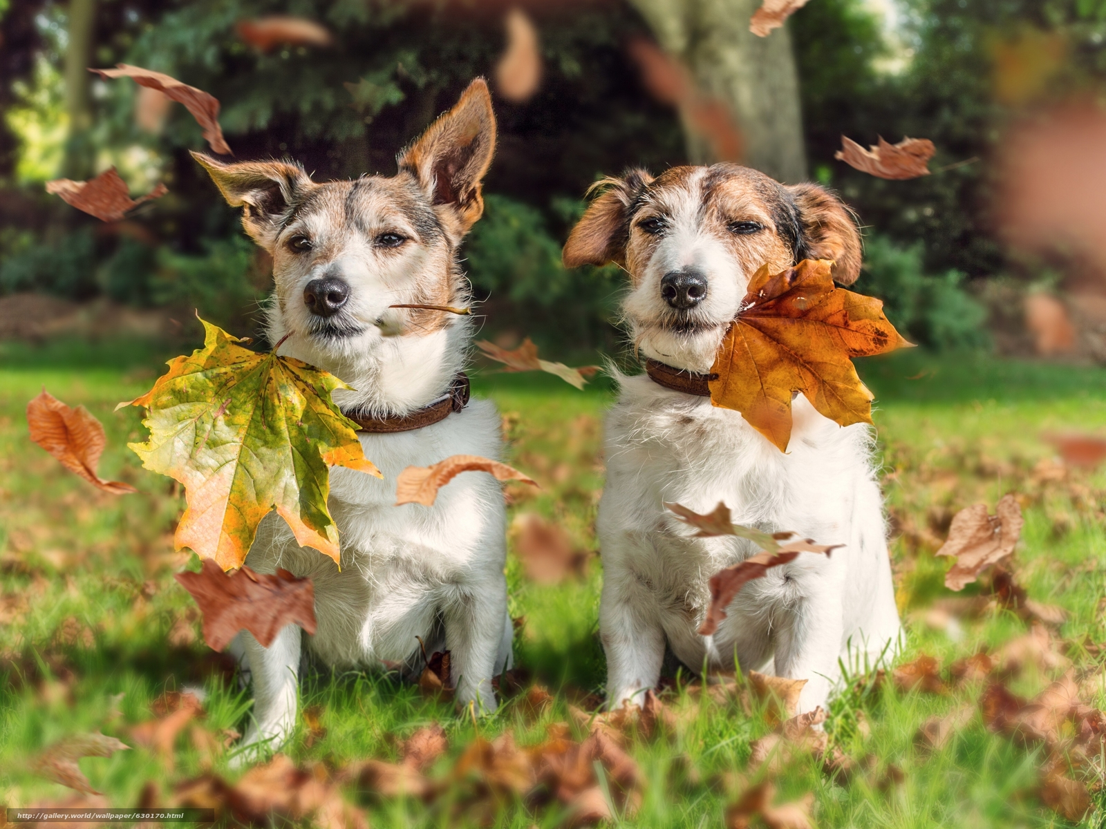 Download wallpaper Jack Russell Terrier,  Dog,  couple,  foliage free desktop wallpaper in the resolution 3600x2700 — picture №630170
