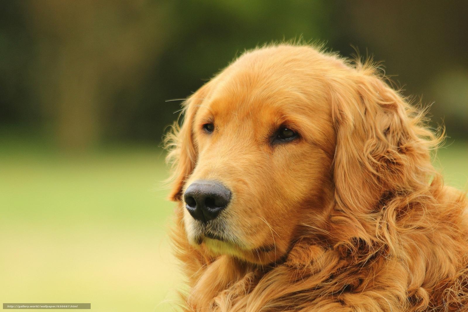 Tlcharger fond d 39 ecran golden retriever golden retriever chien museau fonds d 39 ecran gratuits - Golden retriever gratuit ...