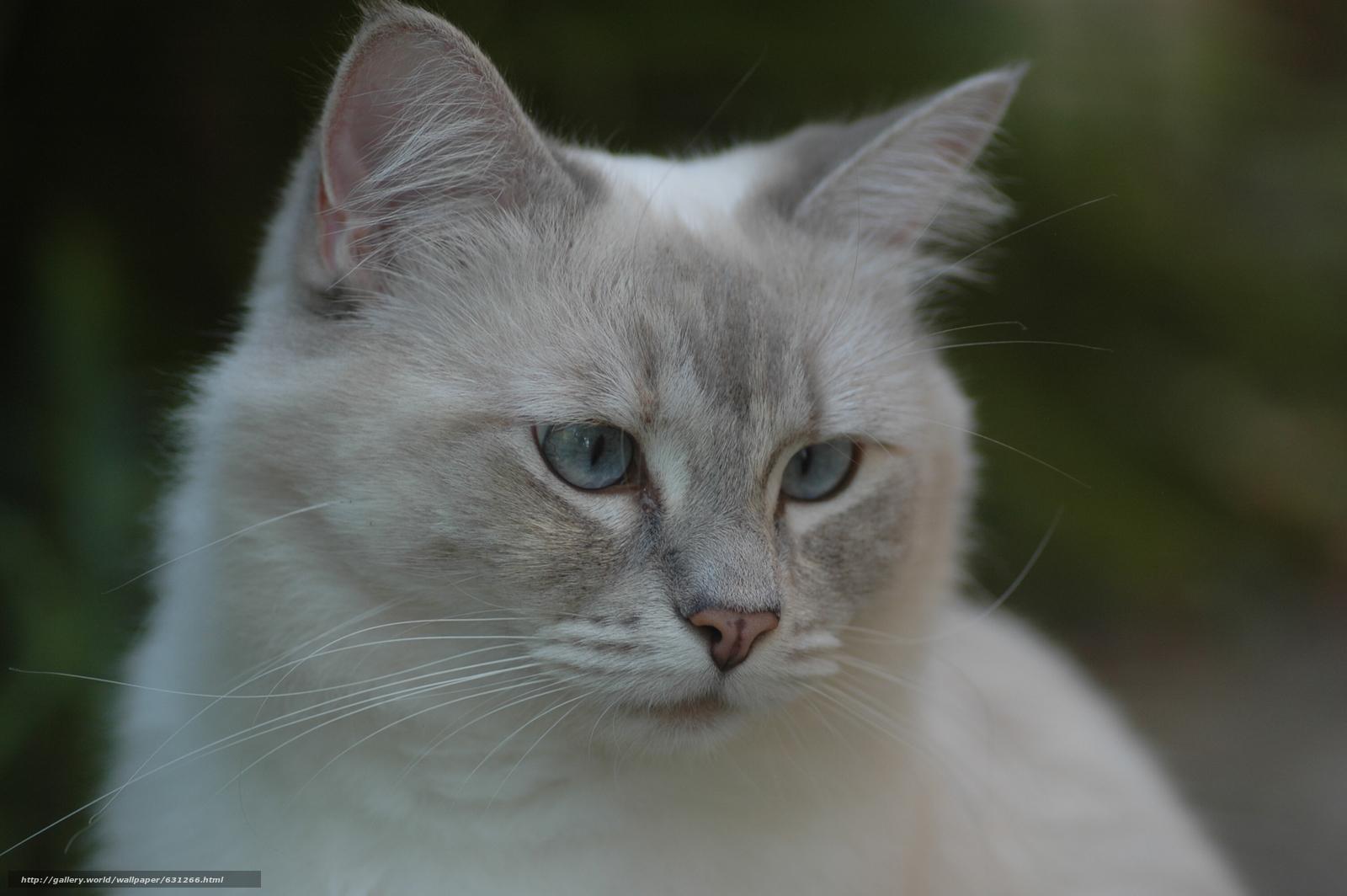 scaricare gli sfondi Ragdoll,  gatto,  museruola,  visualizzare Sfondi gratis per la risoluzione del desktop 3008x2000 — immagine №631266